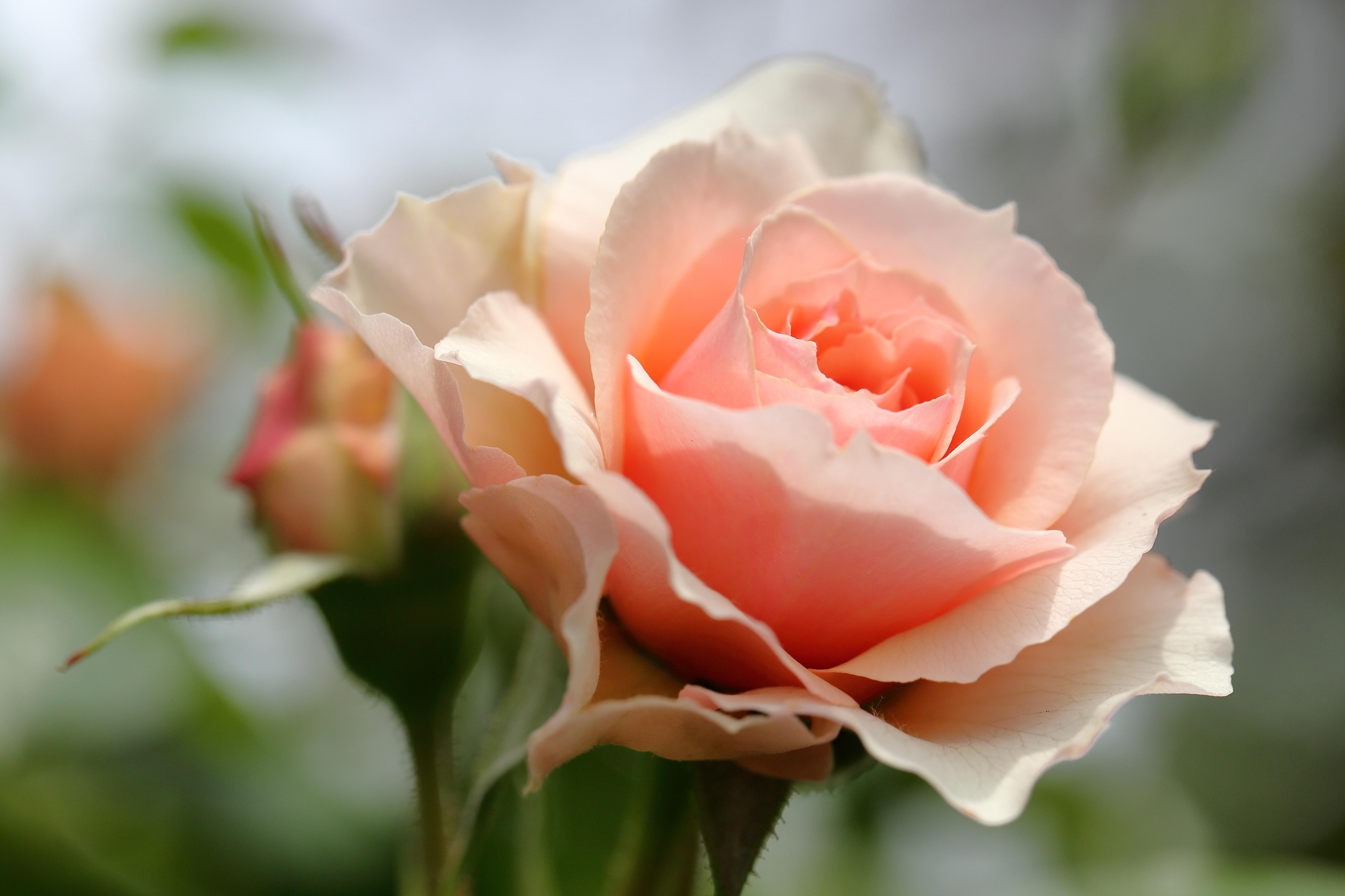 Нежные розы в картинка