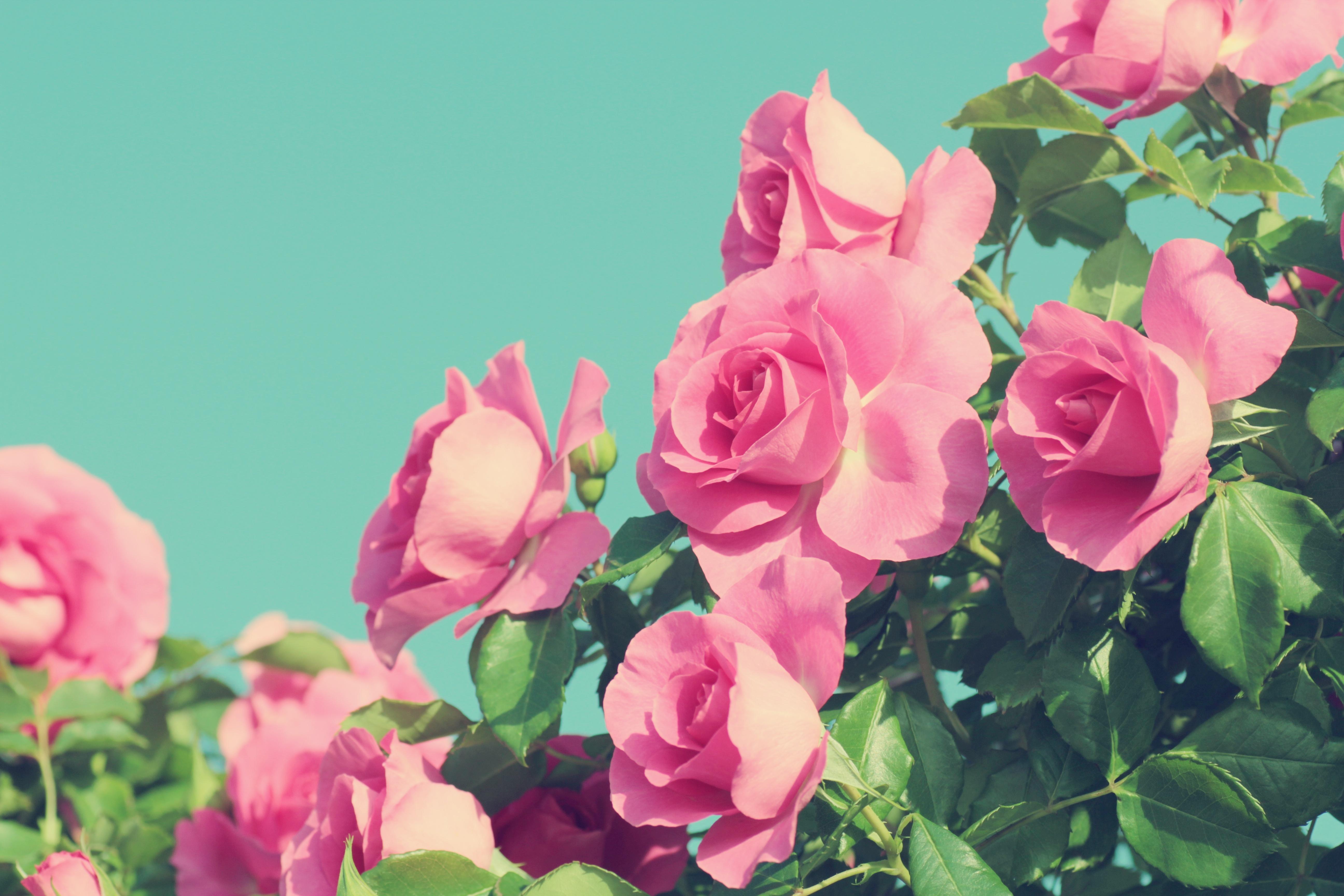 разделить картинки на три экрана розы самый популярный