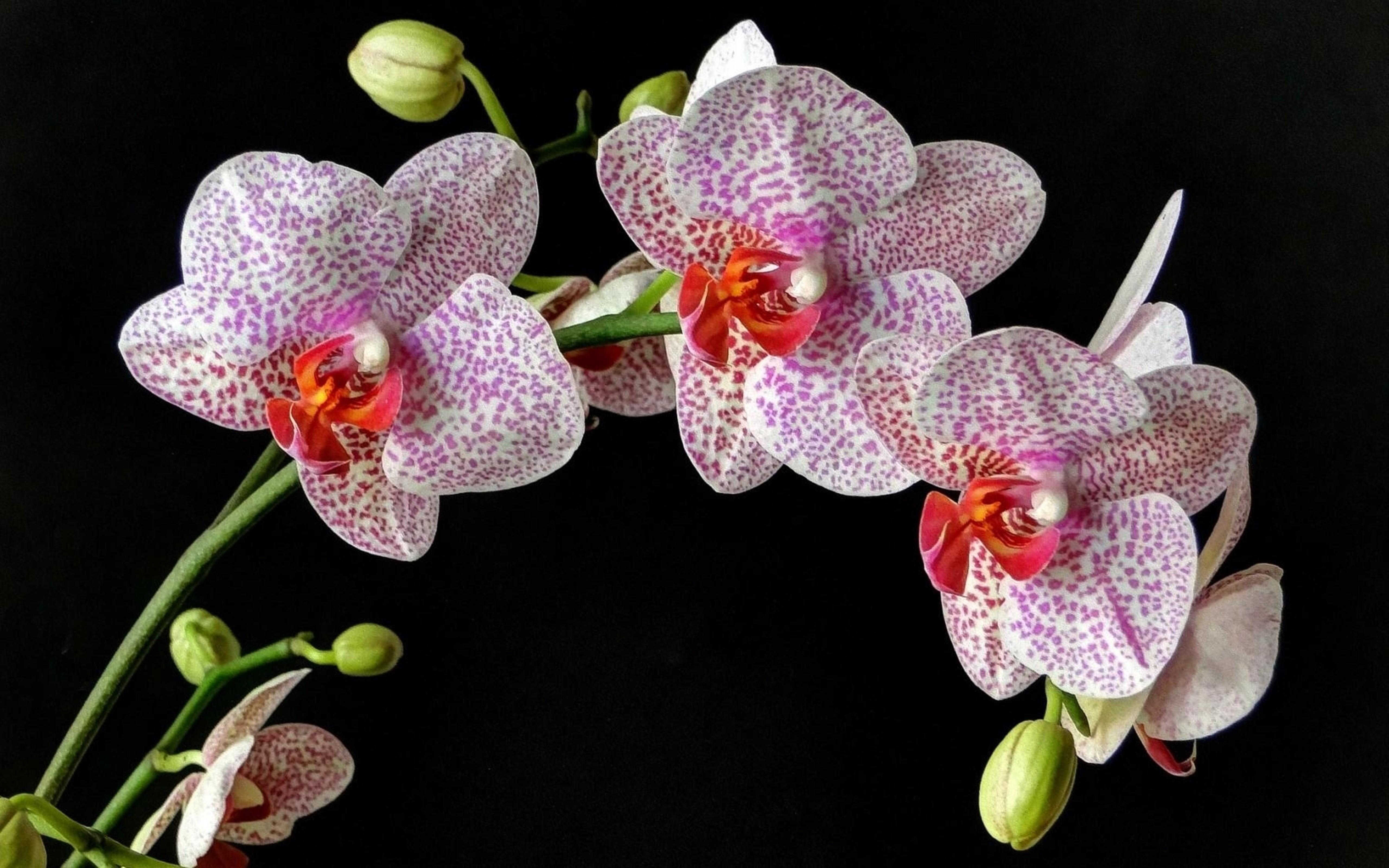 фото орхидей на черном фоне высокого качества ним