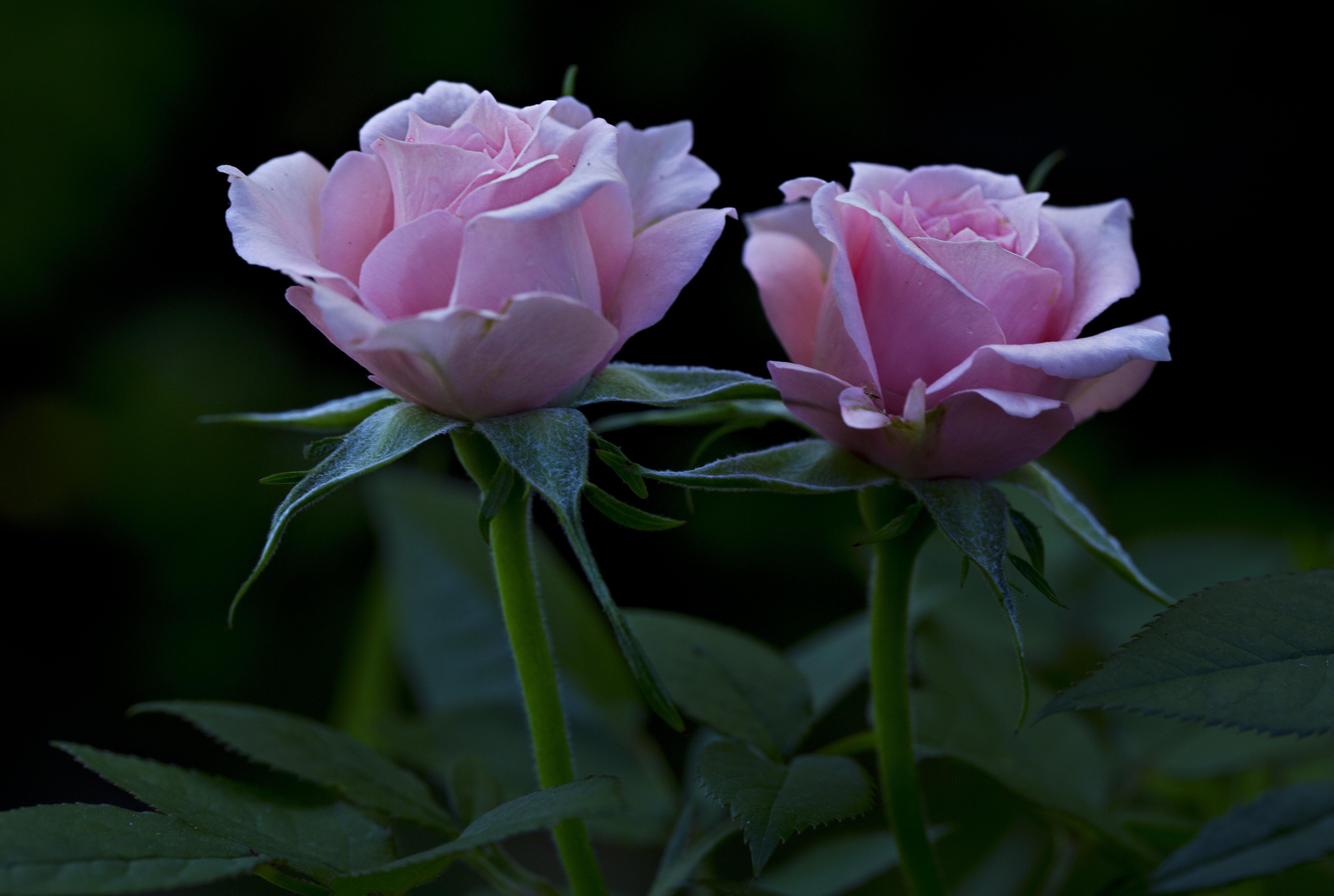 две розы картинка фото отечественный краболов истории