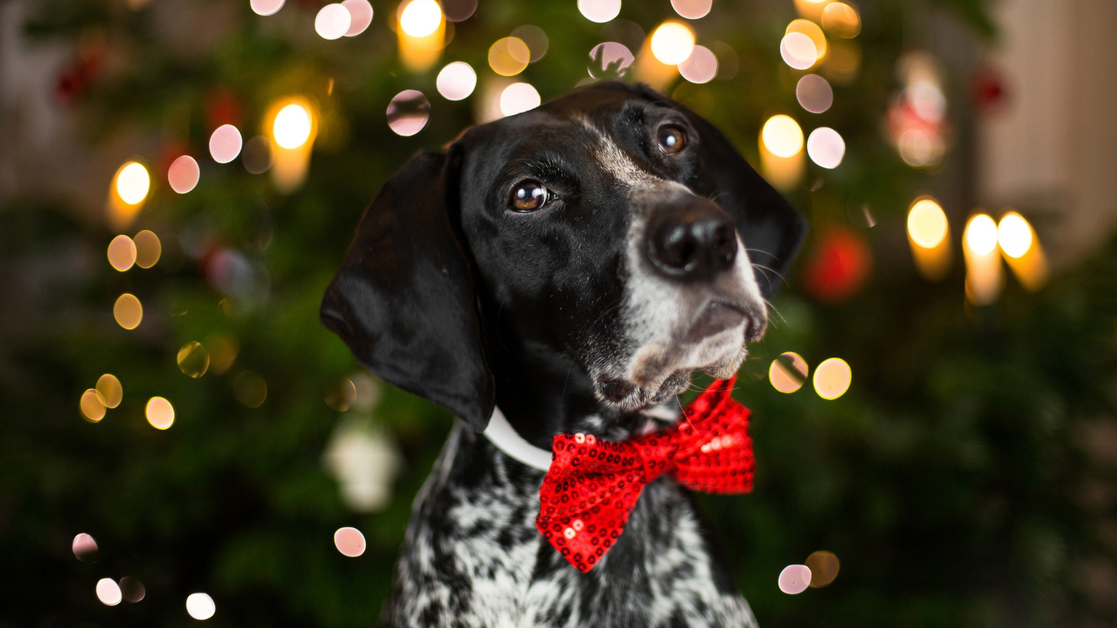 Wallpaper Purebred dog with a red bow on the neck