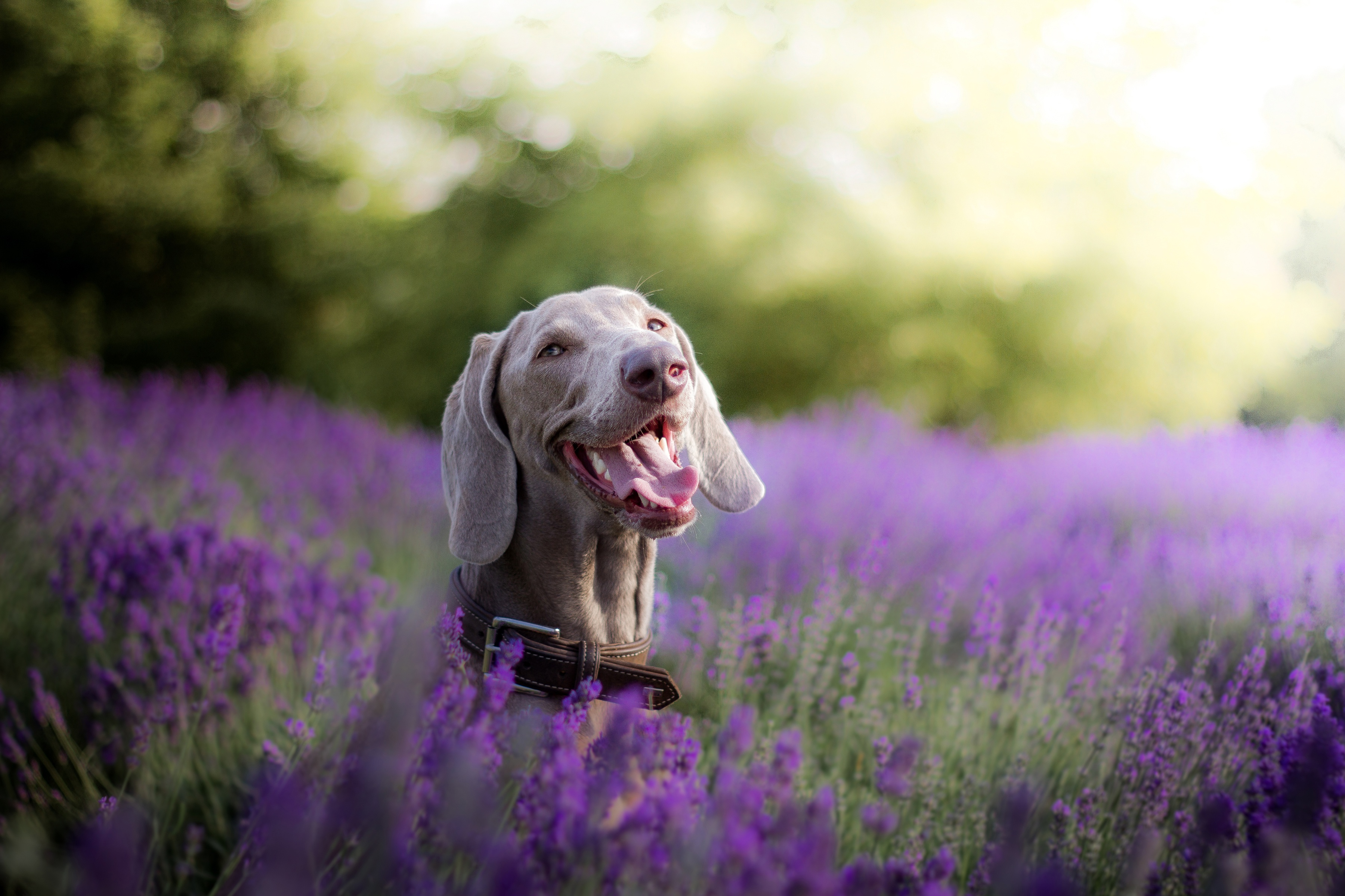 Wallpaper Weimaraner dog with tongue sticking out in flowers