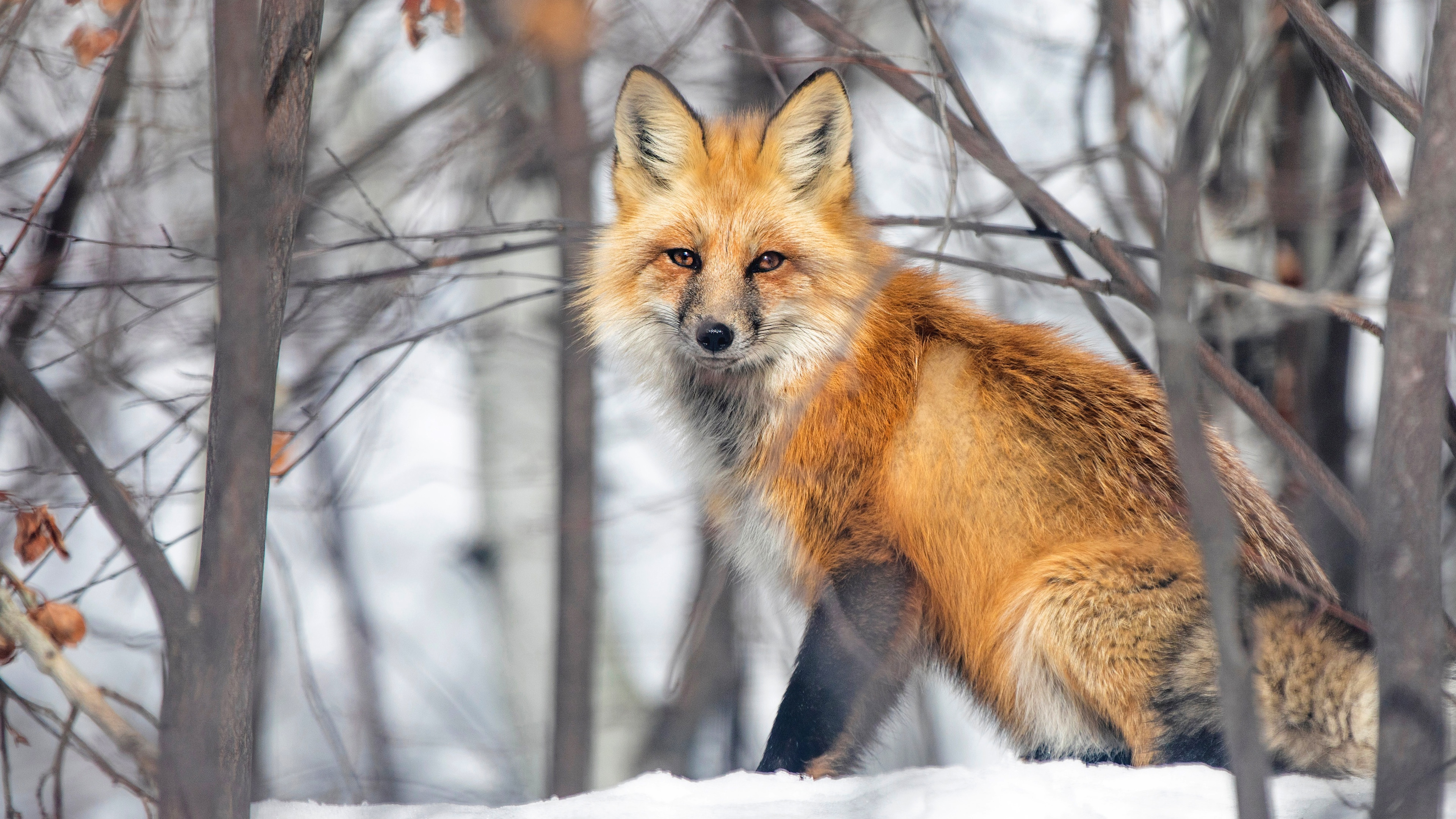 Wallpaper A large red fox sits in the snow in the forest