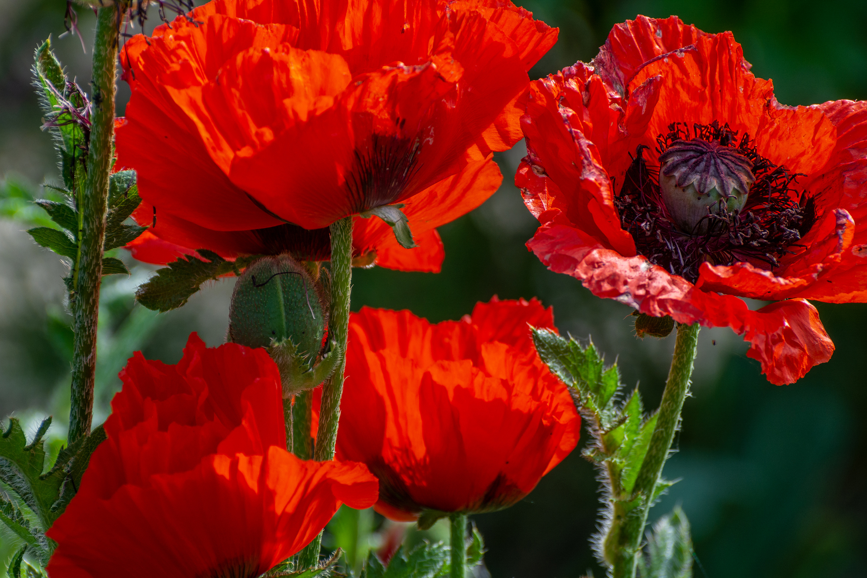 Wallpaper Big red poppies with buds in the sun