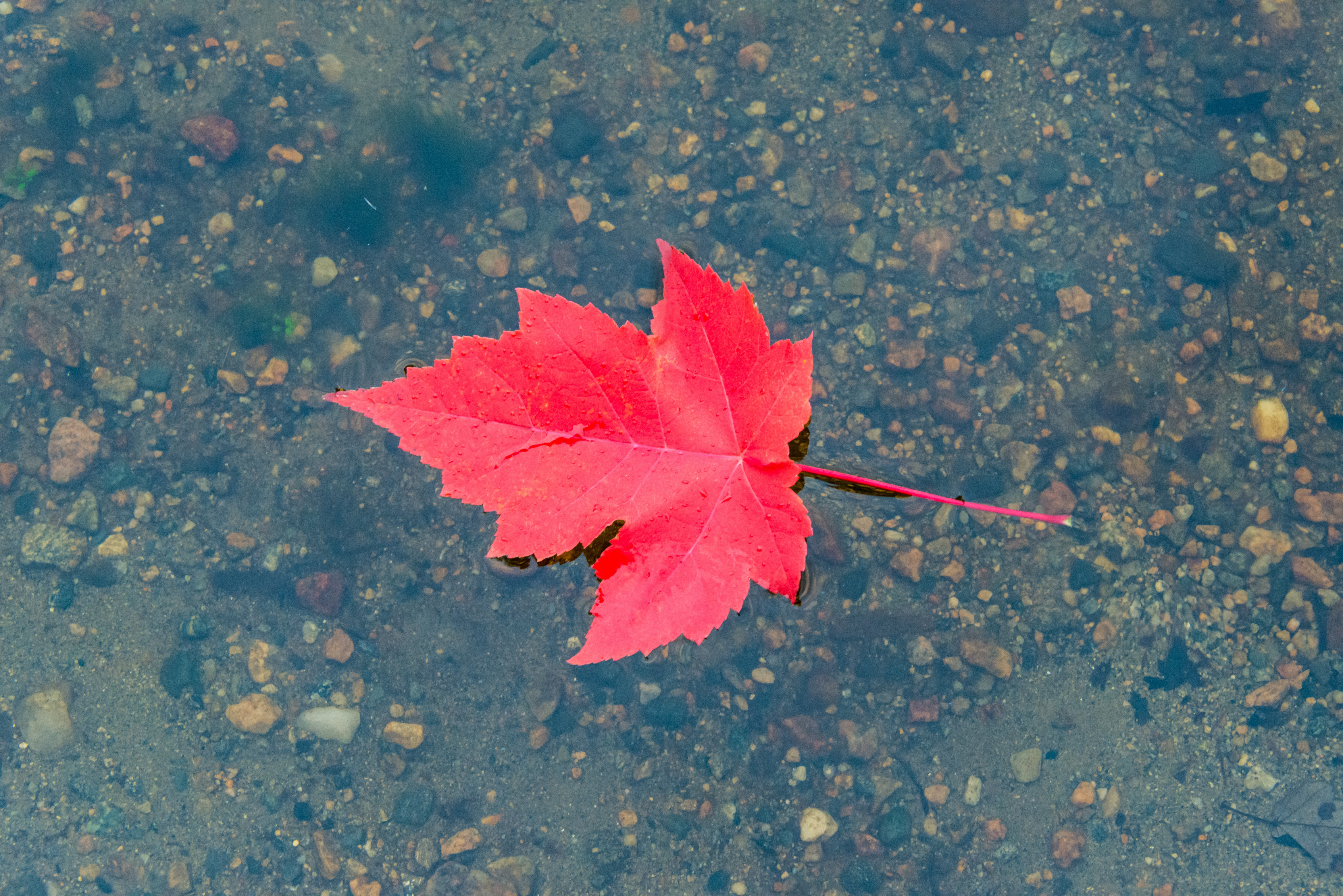 Wallpaper Red autumn leaf in water