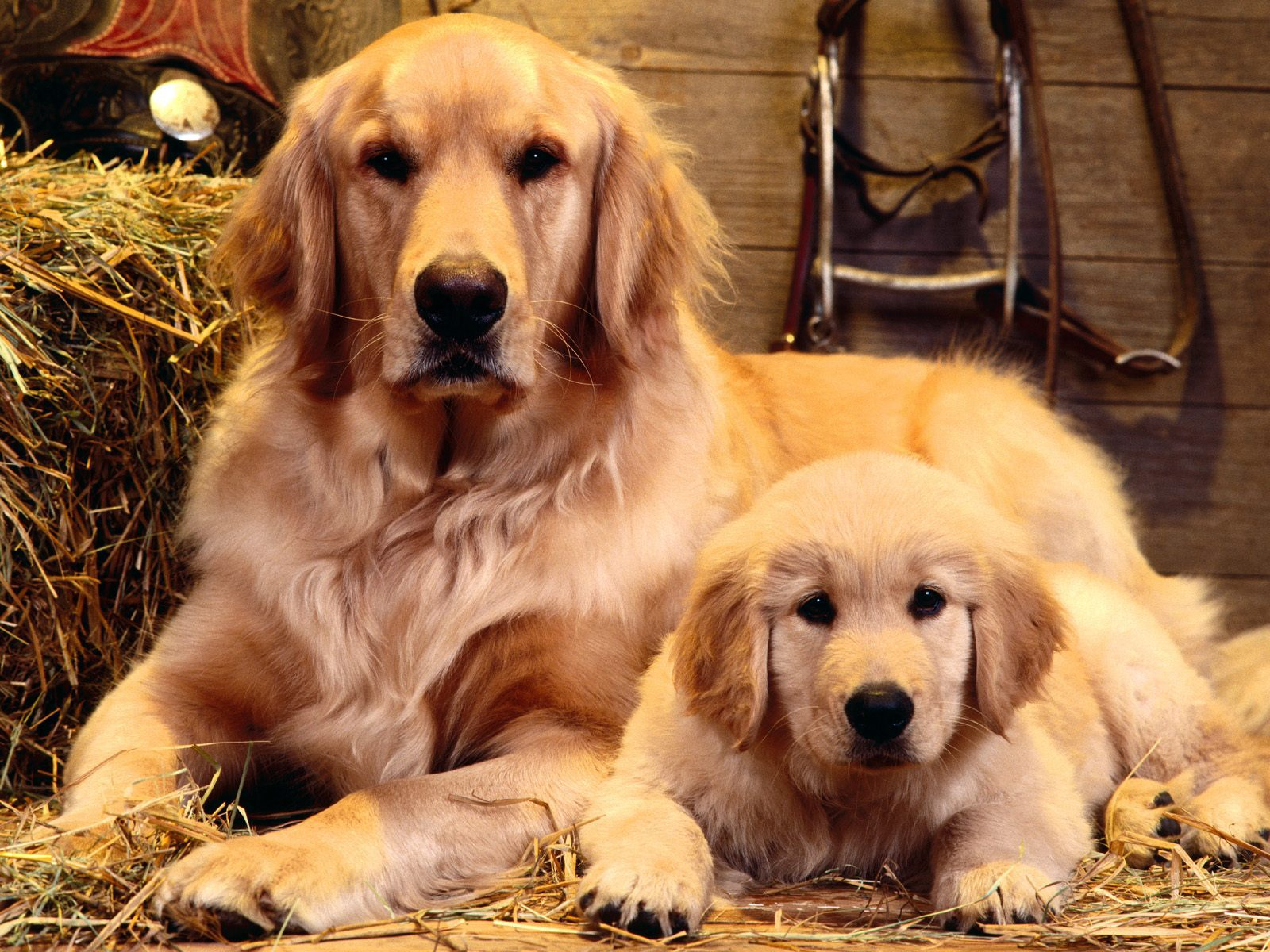 Wallpaper Golden Retriever with his son
