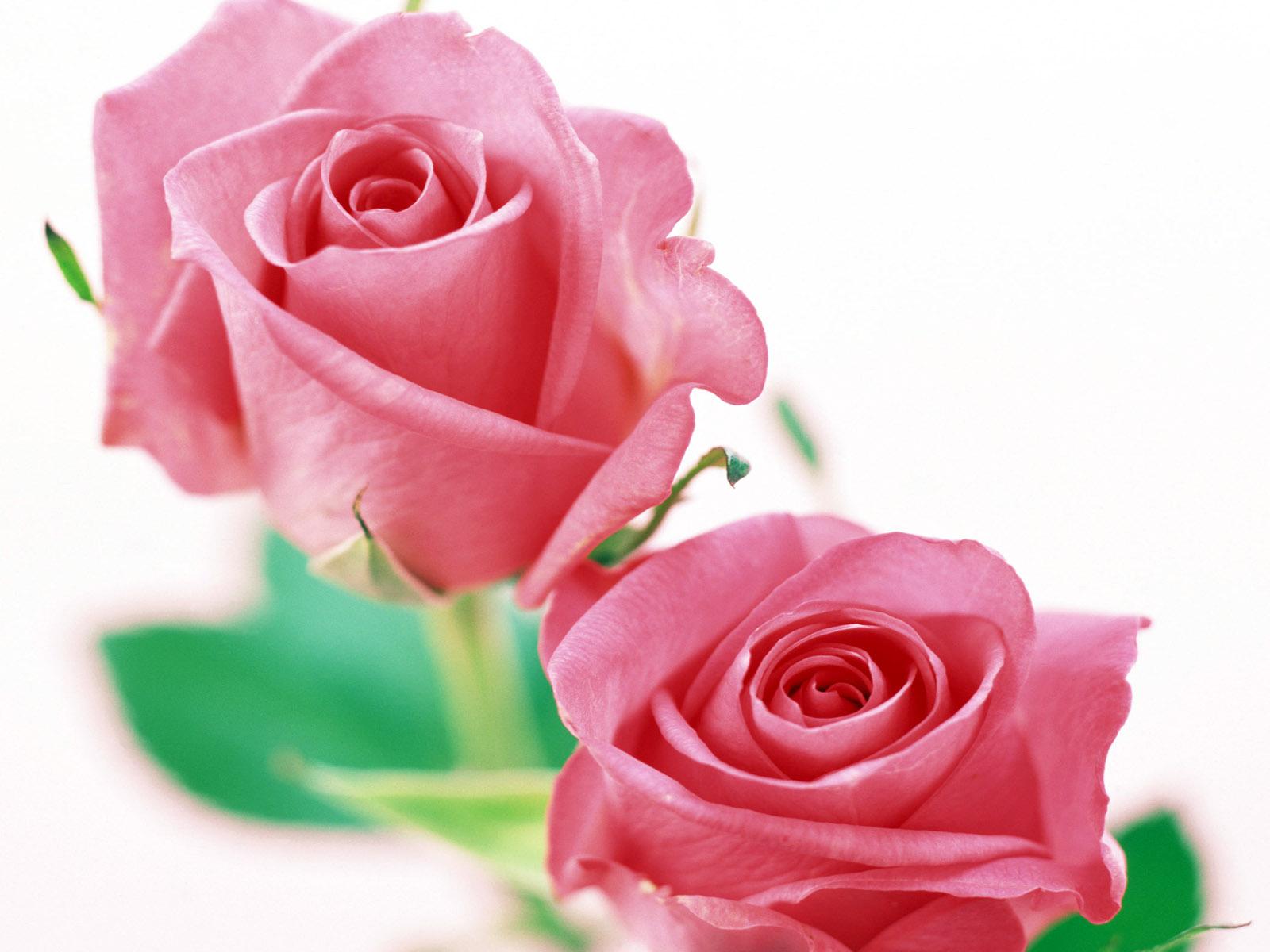 Картинки розовые розы на белом фоне, лет дня свадьбы