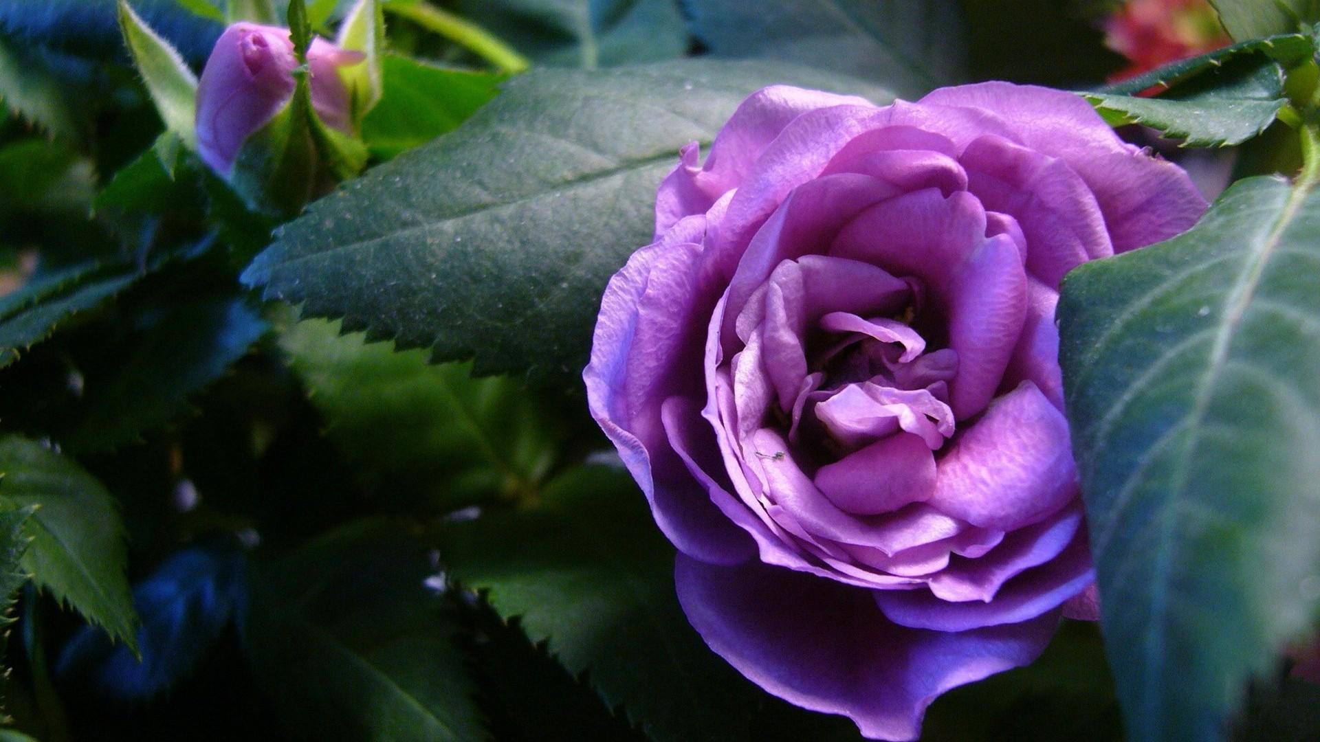 Открытки красивые цветы розы какой тип