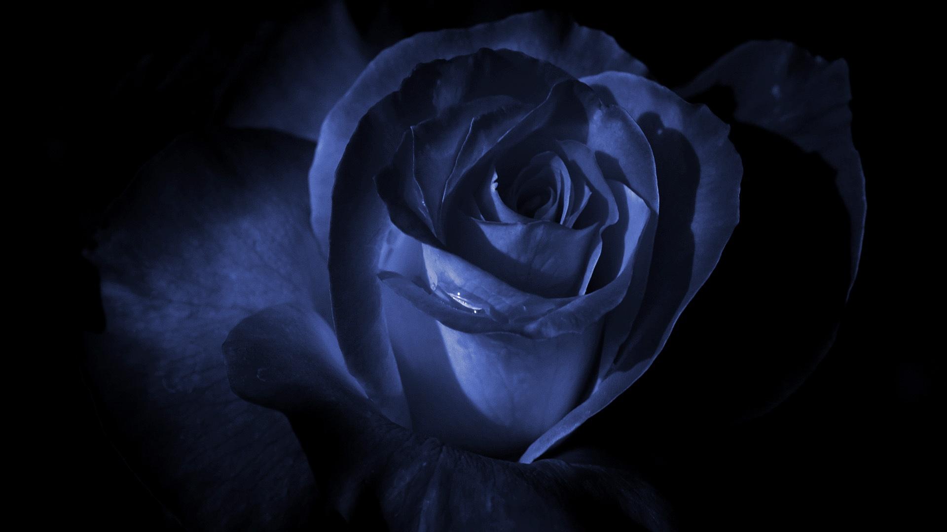 Обои на телефон синие розы на черном фоне