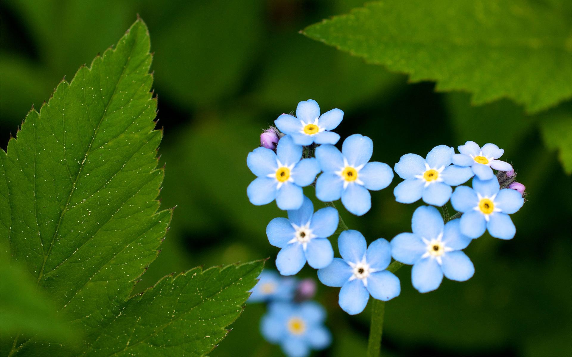Катюшке, цветы незабудки картинки красивые