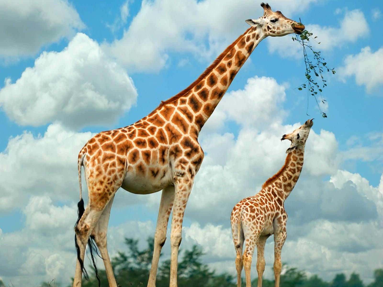 Обои для рабочего стола бесплатно жираф