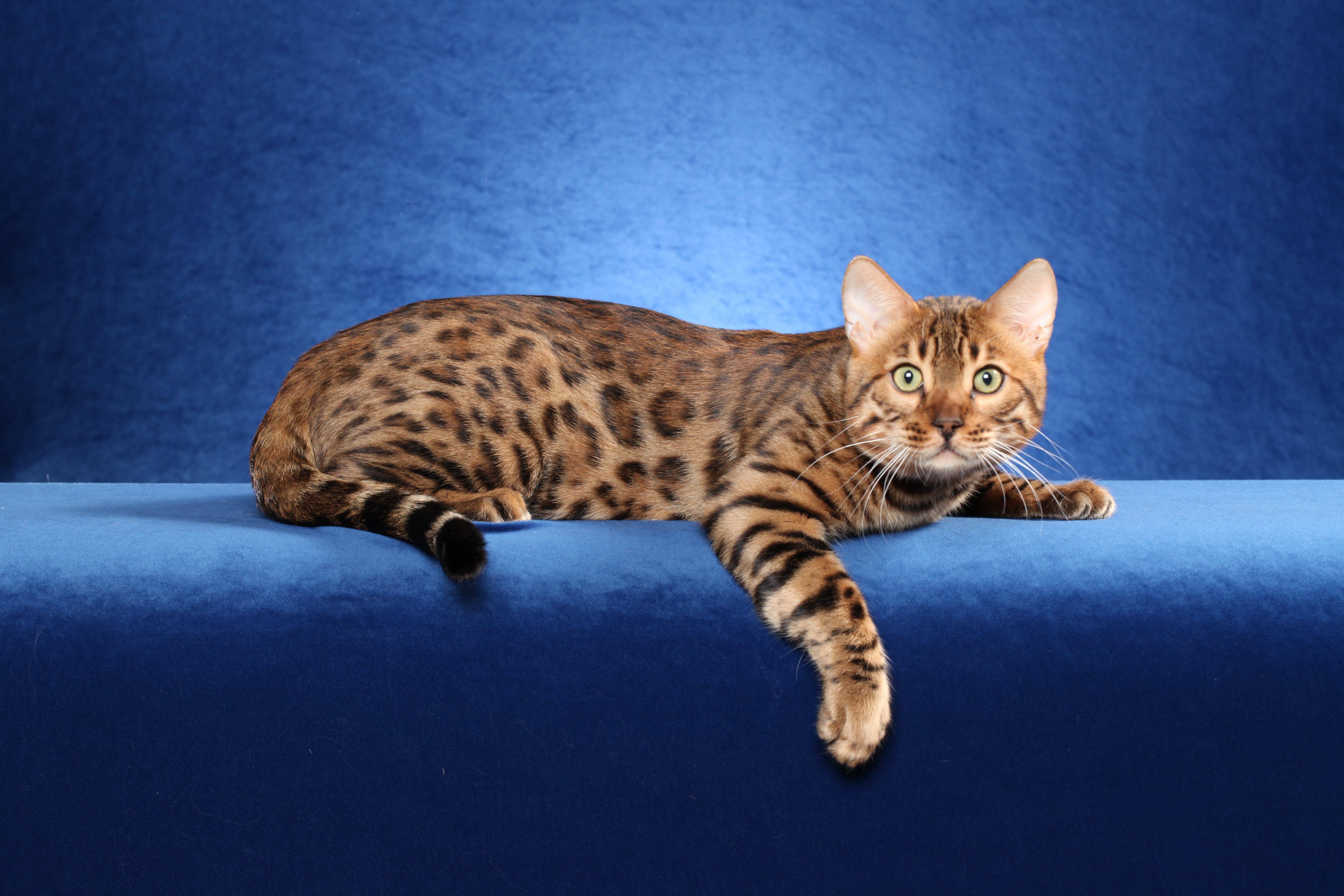 Pictures of bengal kittens