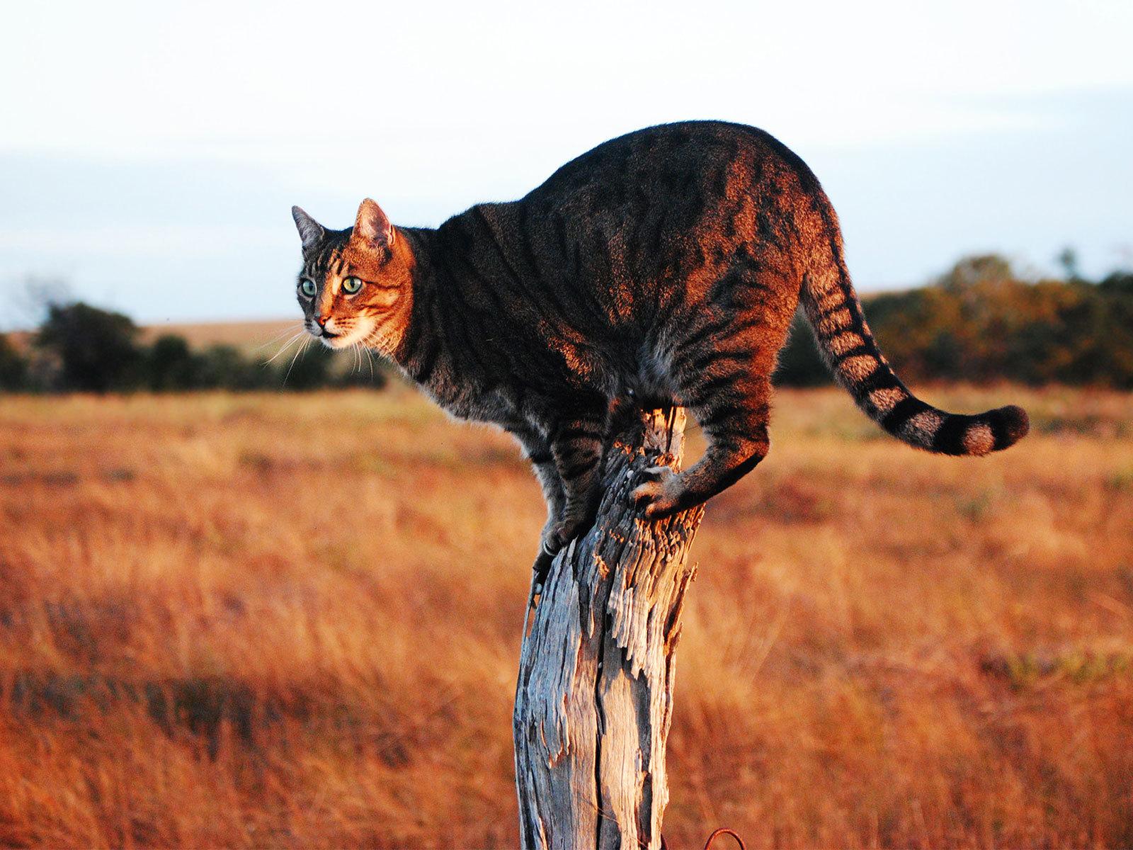 кошка саванна шерсть и окрас
