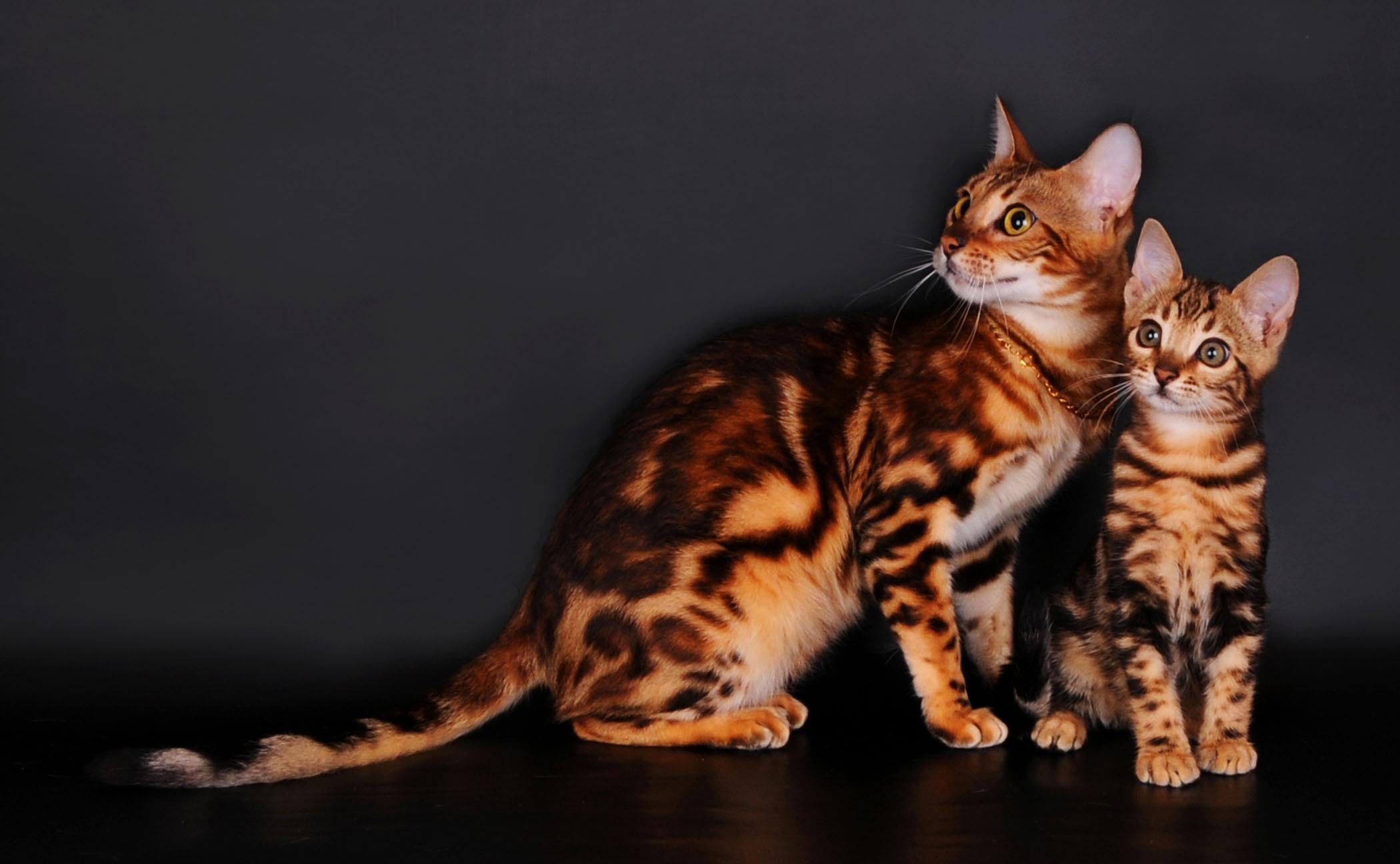 Обои для рабочего стола бенгальский кот