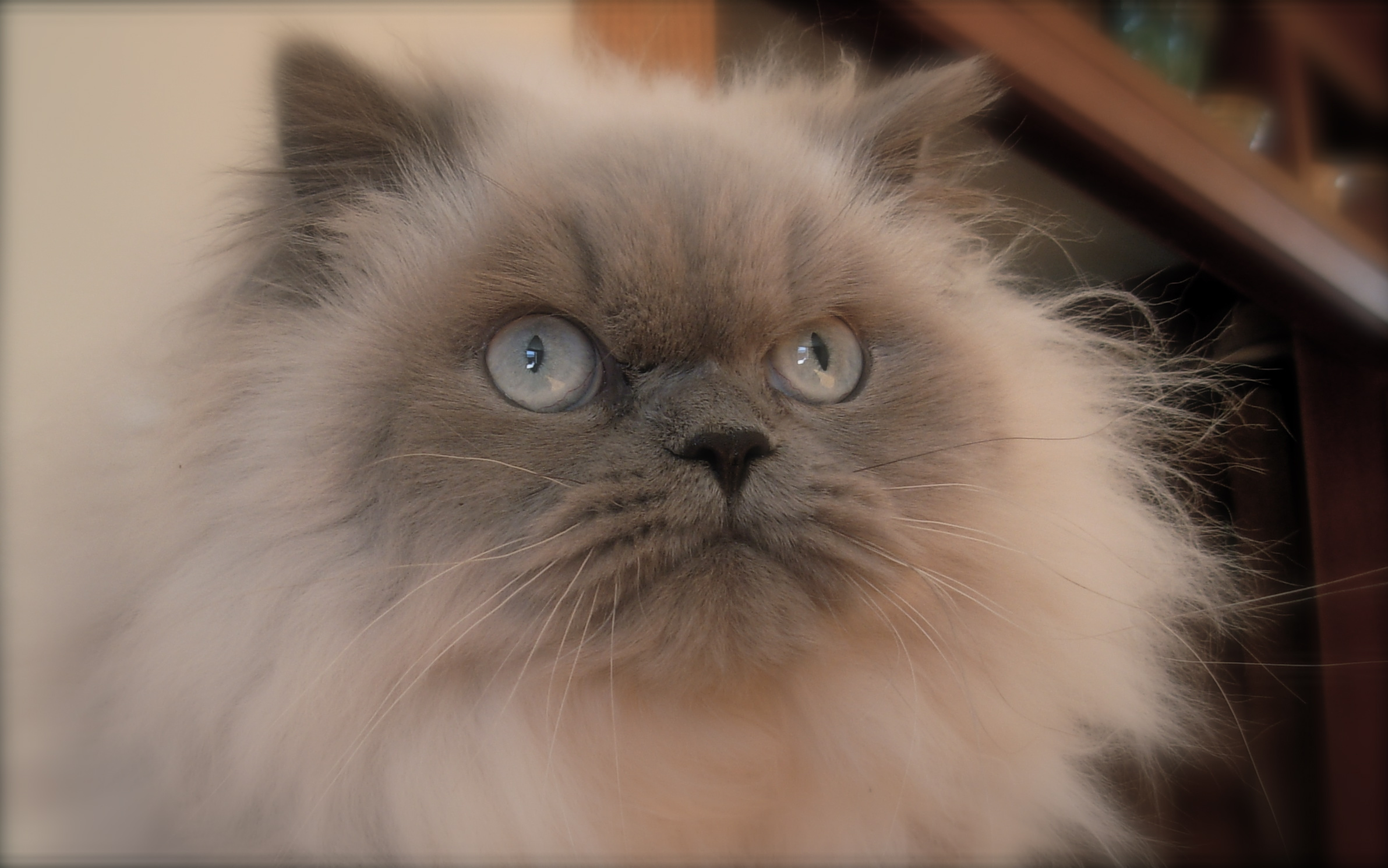 himalayans cat Tests are still being done to discover the descendants of cats such as himalayans (1996), one of the main characters is a himalayan cat named sassy.