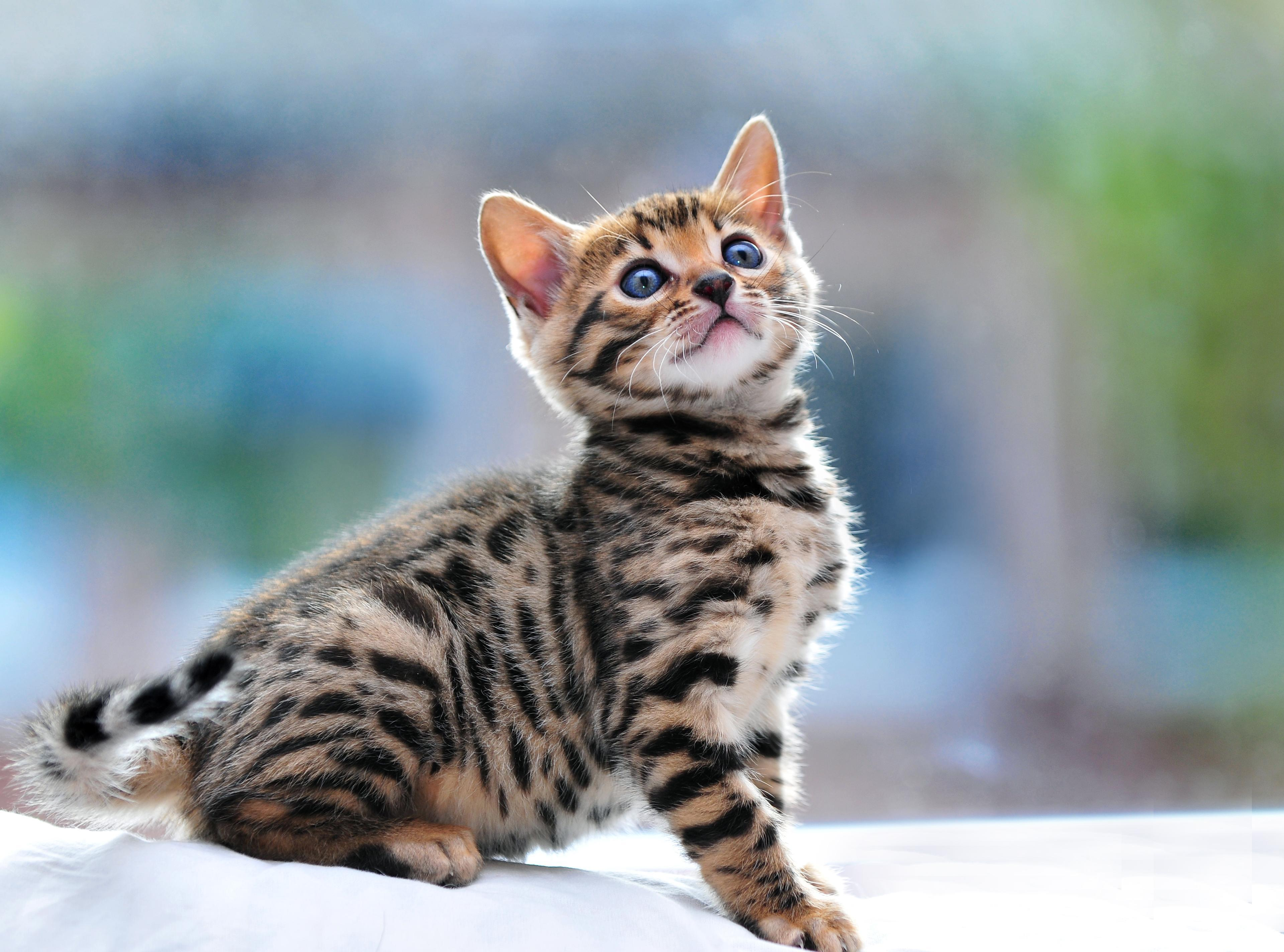 Actress « Pictures of bengal kittens