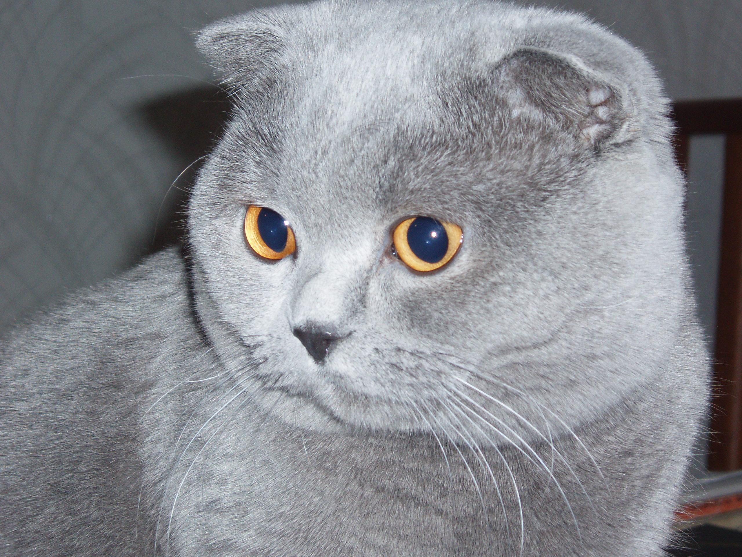 Обои вислоухий кот