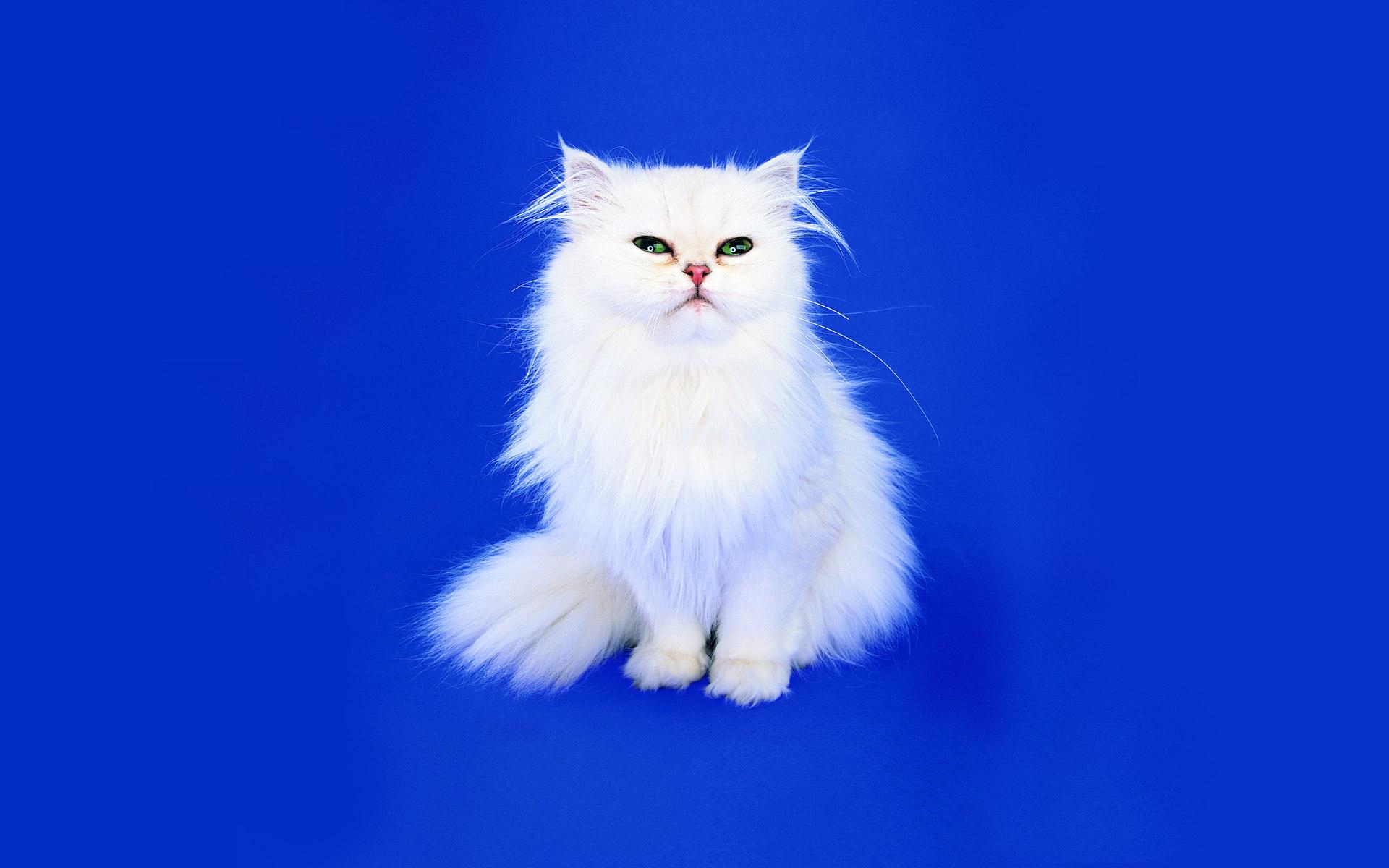 Коты на синем фоне