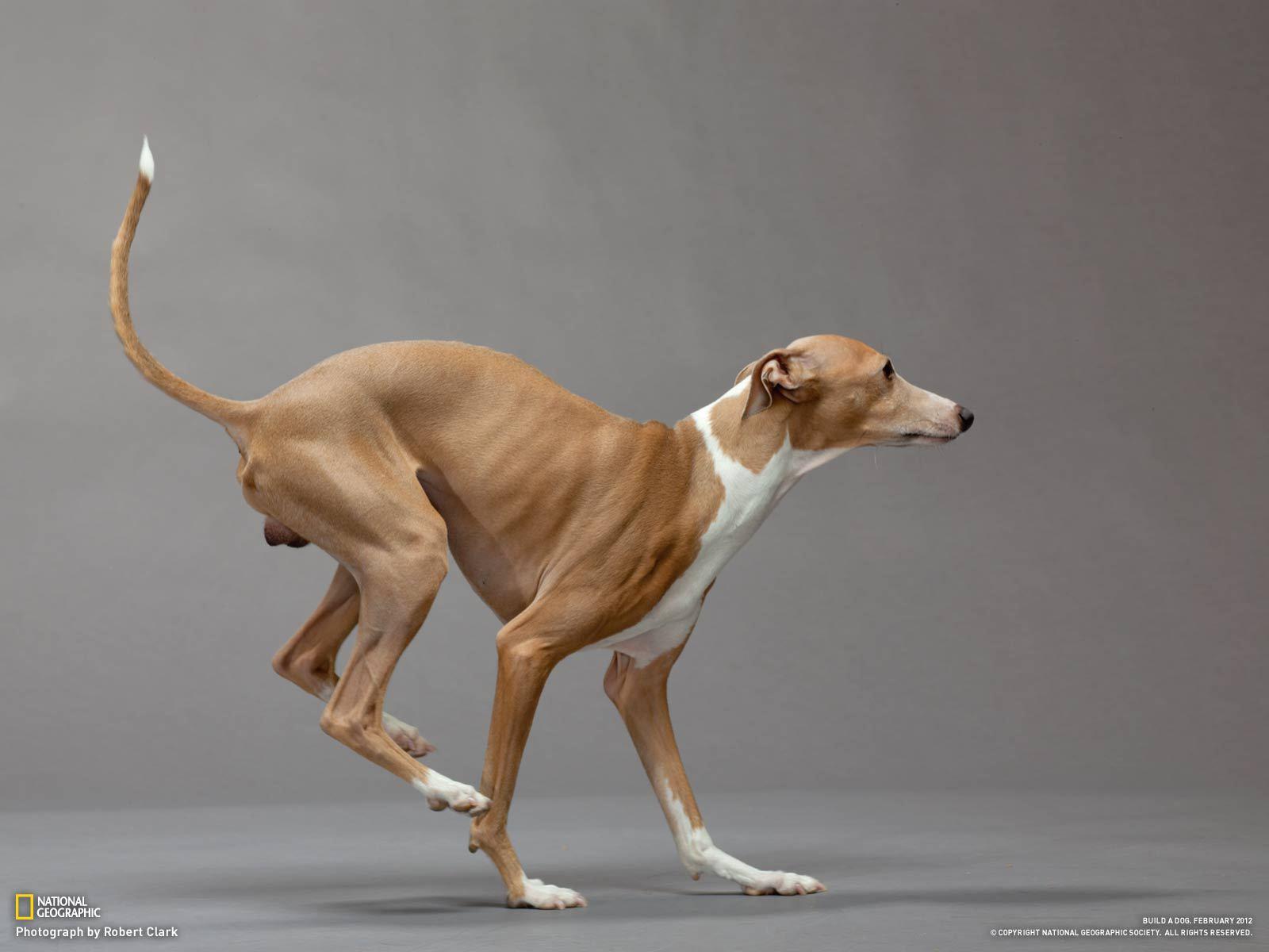 условия содержания собаки породы испанский гальго