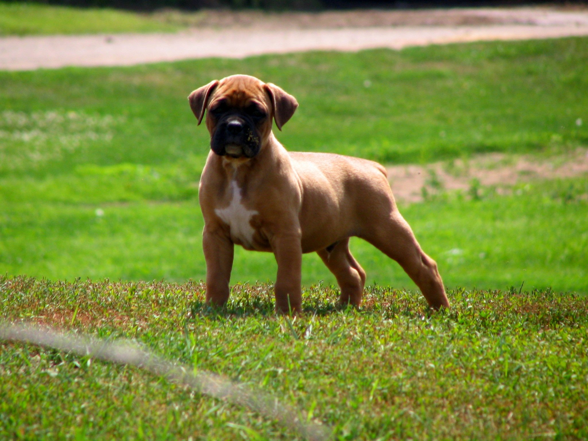 Mean boxer dog