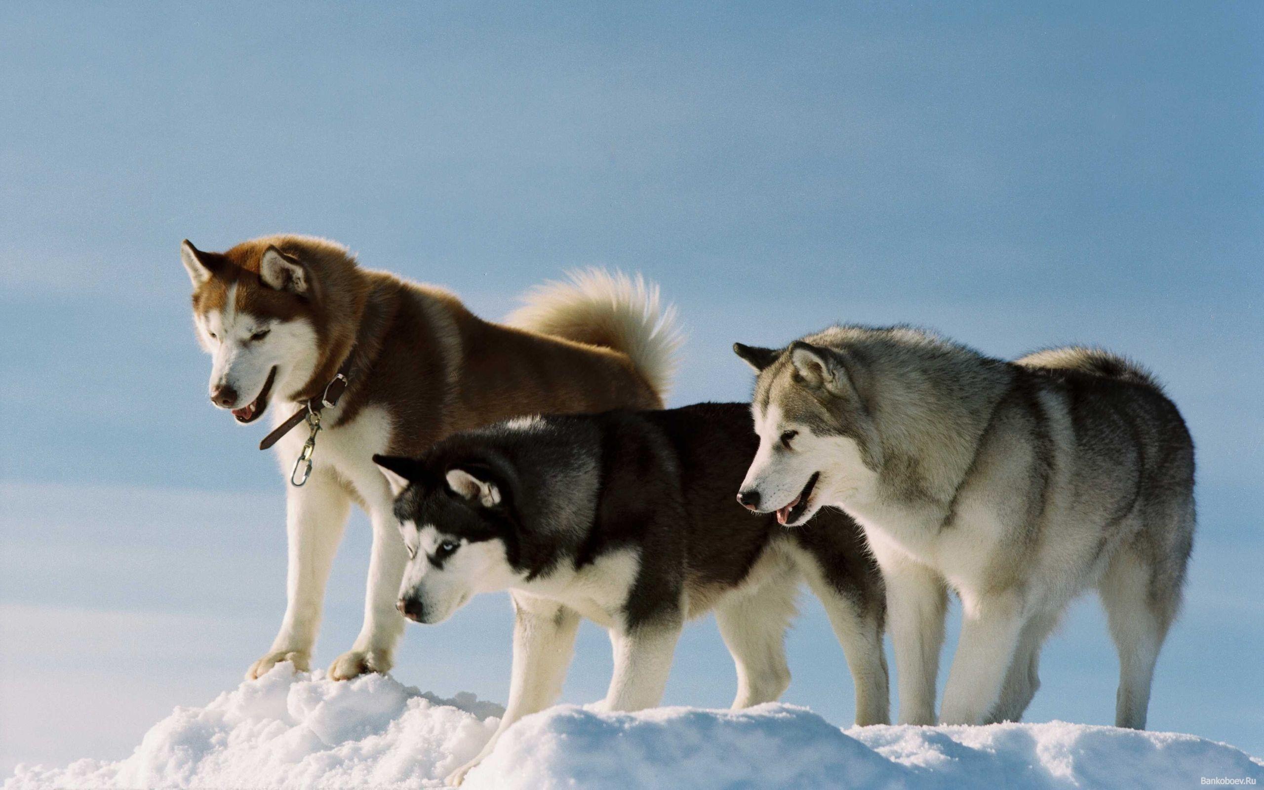 обои для рабочего стола собаки маламуты № 626342 без смс