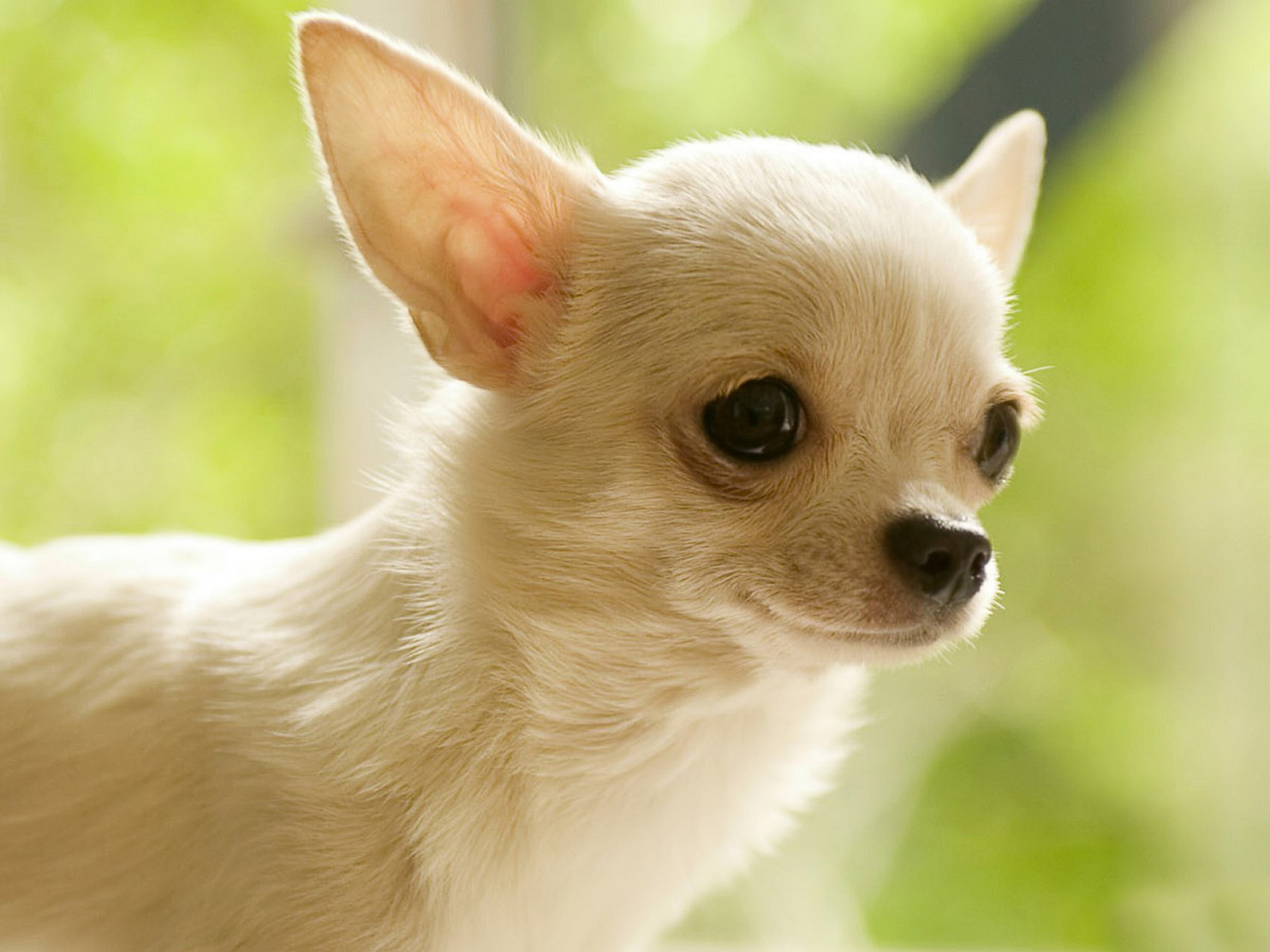 dog and chihuahua the chihuahua Choosing a chihuahua chihuahua's are among the smallest breed of dogs standing at a mere 6-9 inches and are thought by many to originate centuries ago in mexico.