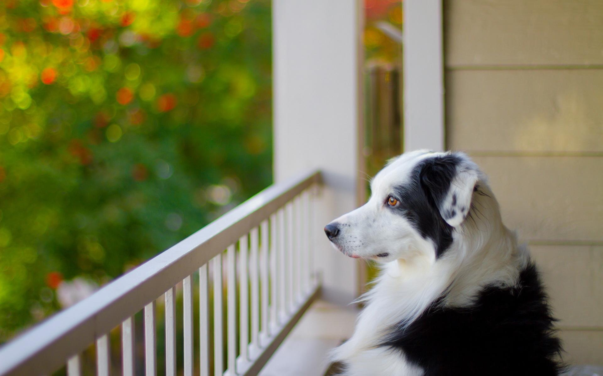 """Обои собака на балконе """" скачать красивые hd обои (картинки)."""