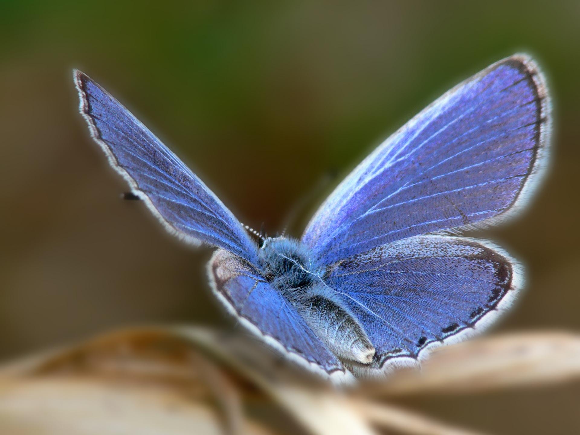 Beautiful blue butterfly wallpaper