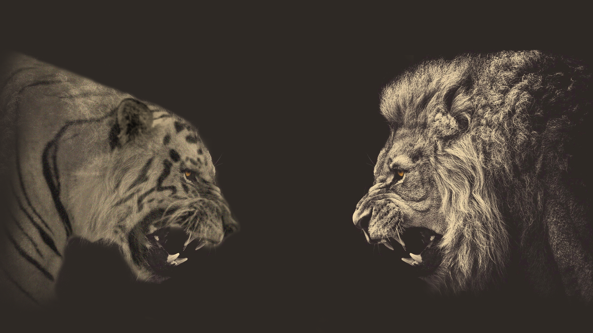 wallpaper meeting a lion and a tiger, gray background » on-desktop