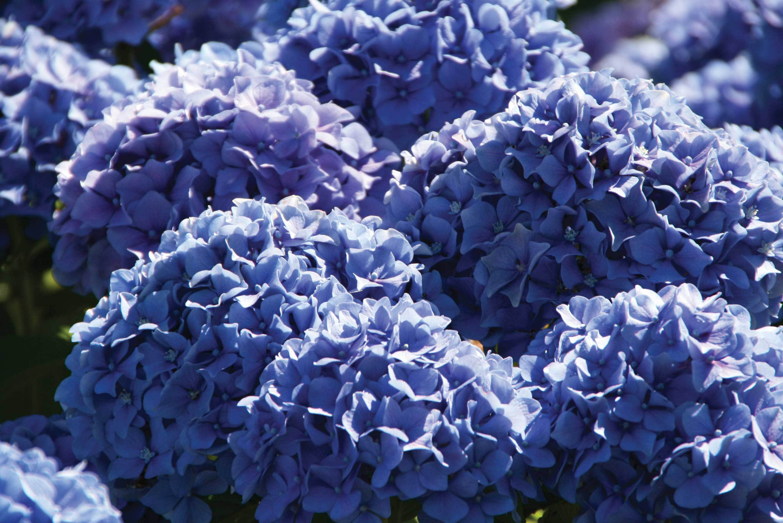 Цветы с синими цветами : названия, описание, фото 76