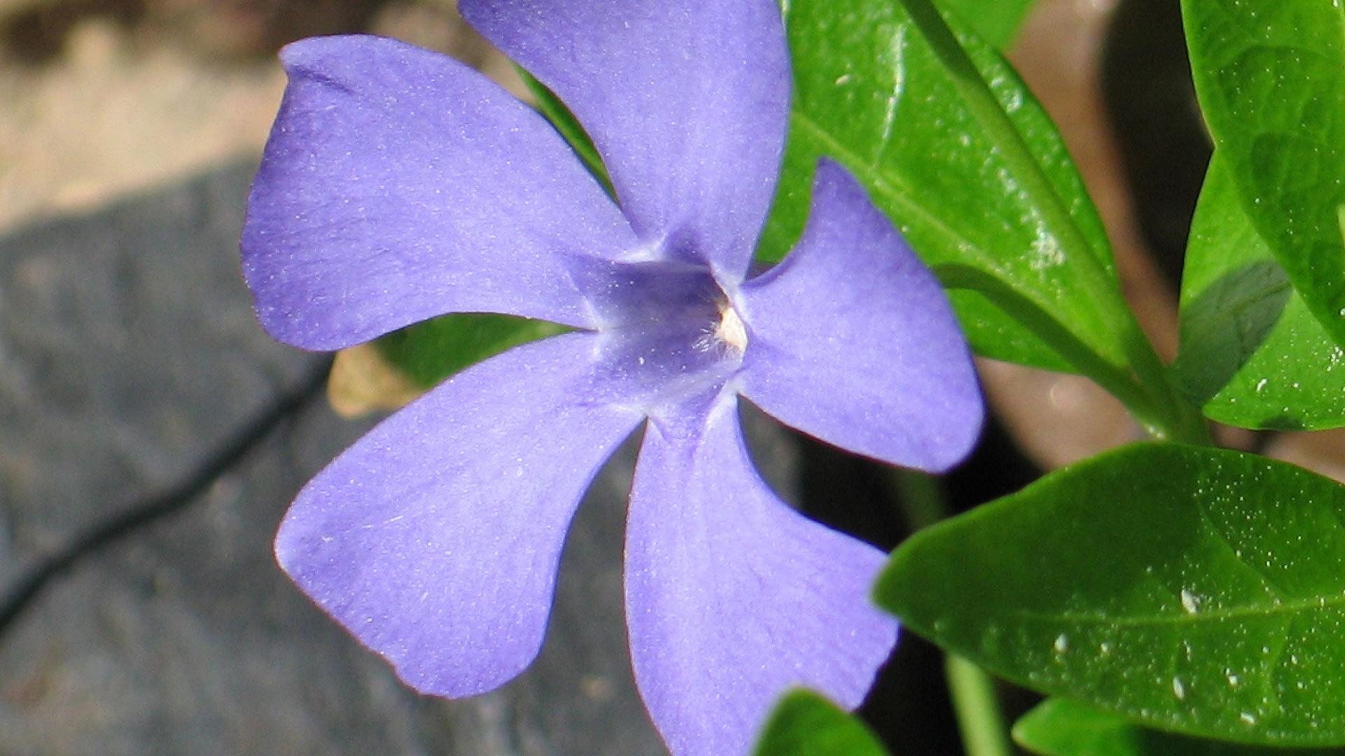 Барвинка цветы