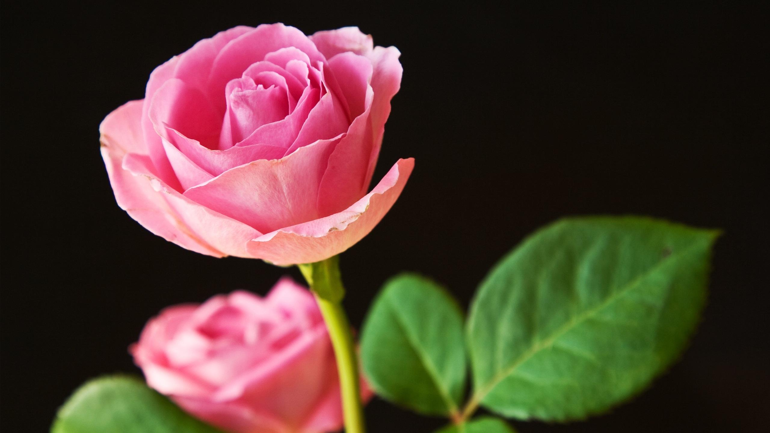 Живые обои на рабочий стол роза