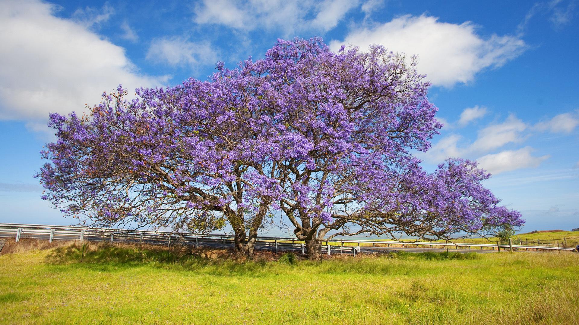 Красивые цветущие деревья: фото и названия - Agronomu