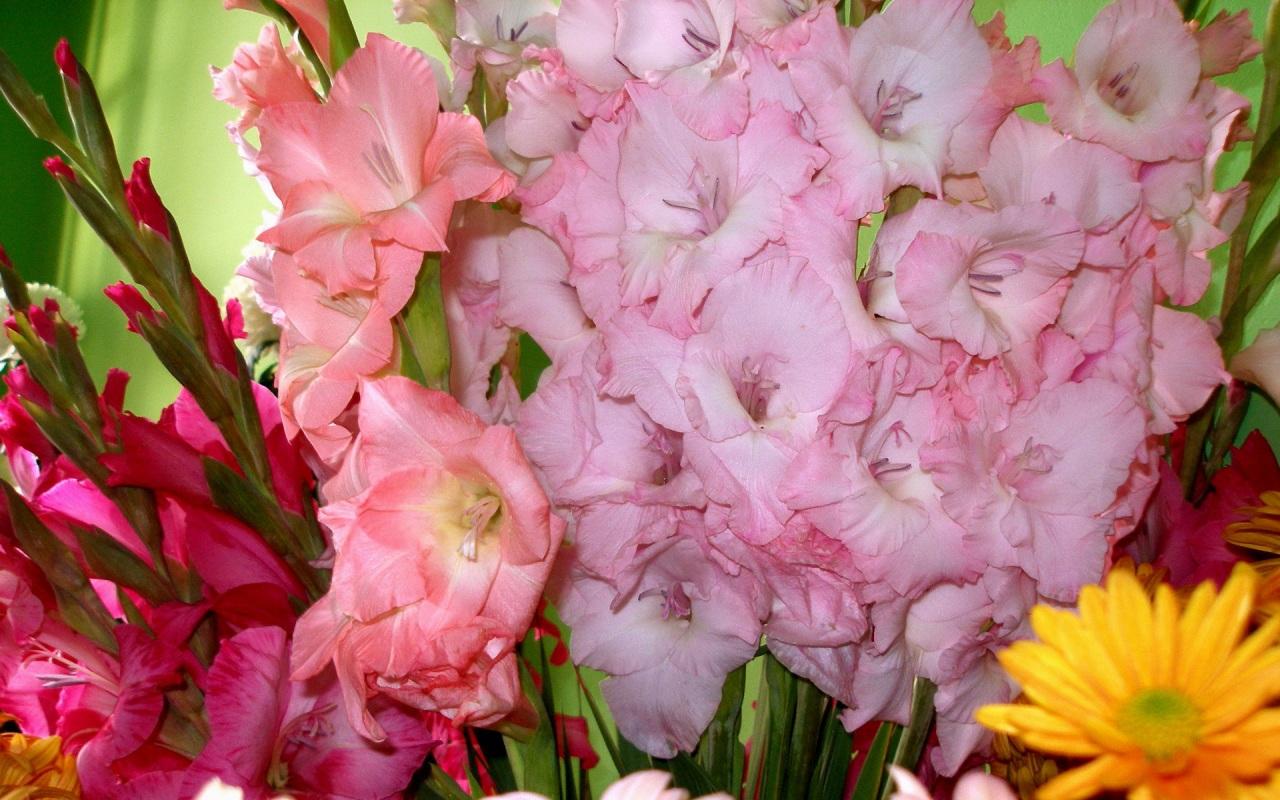 Обои для рабочего стола цветы гладиолуса
