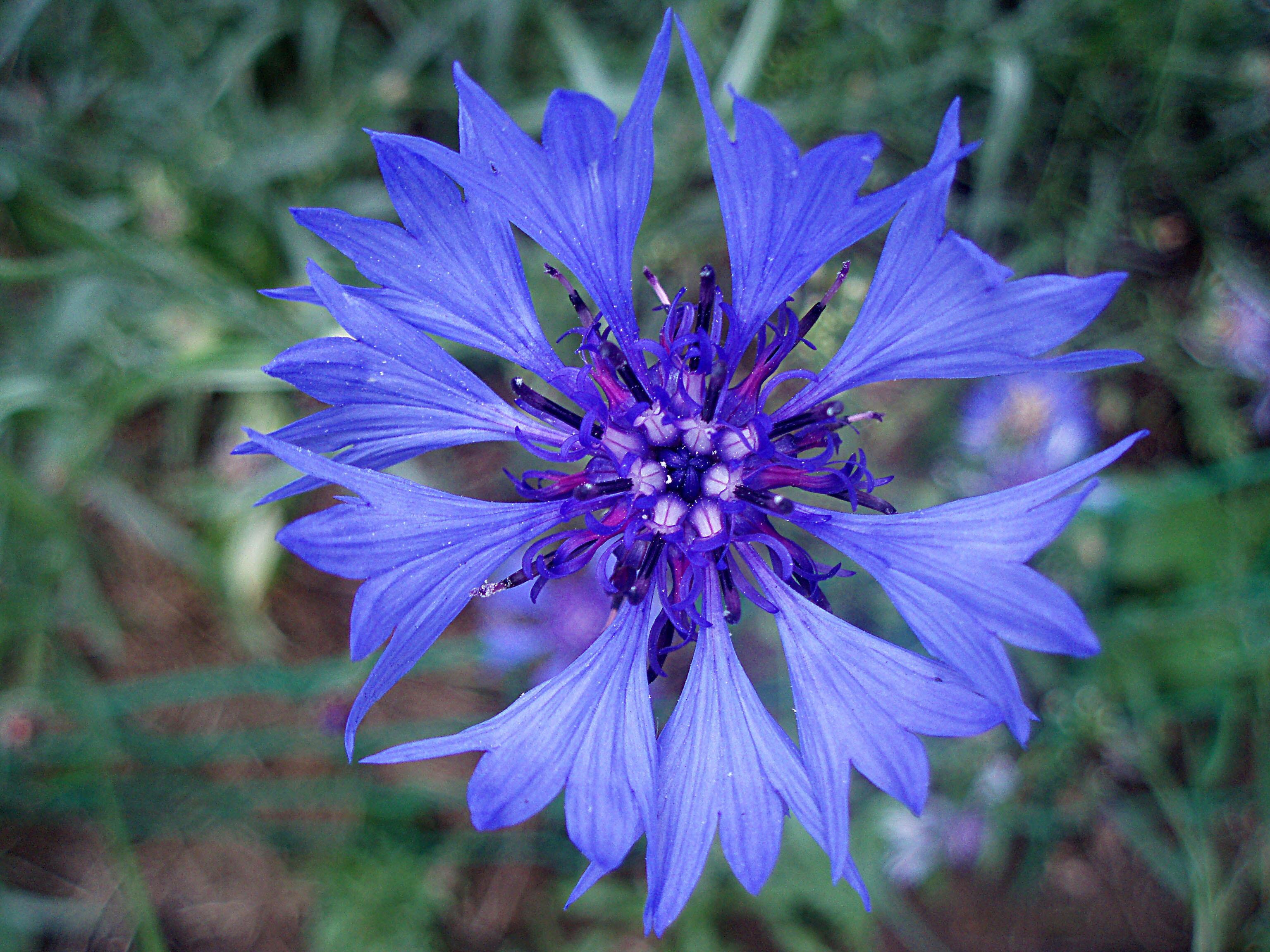 Васильки цветы фото выращивание