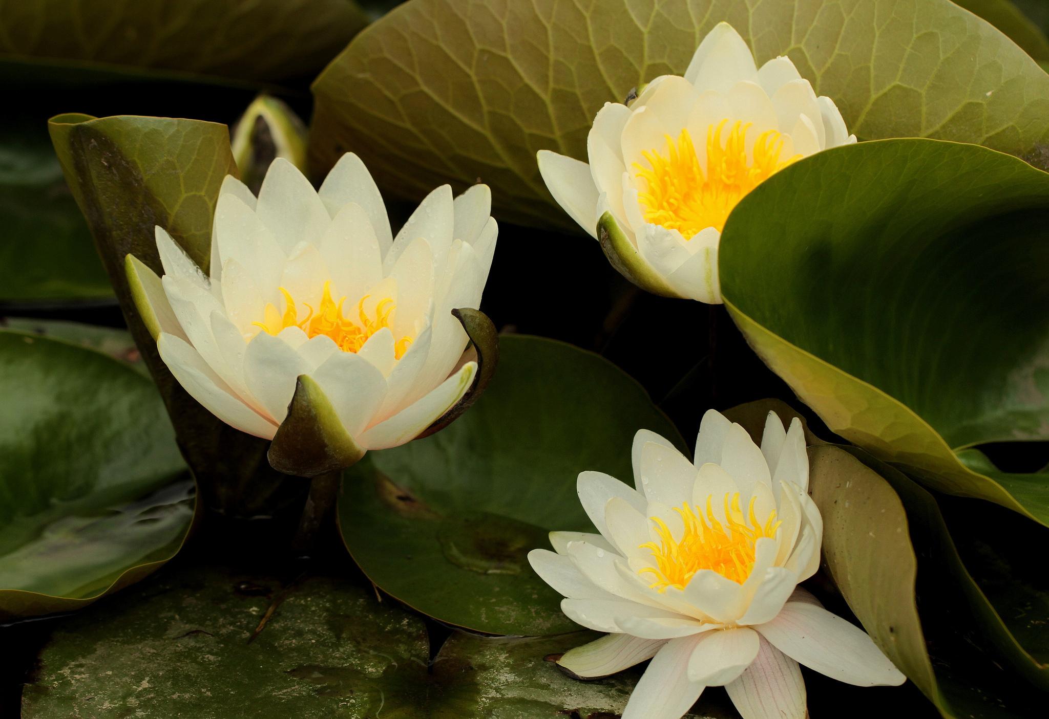 Водяные лилии цветов