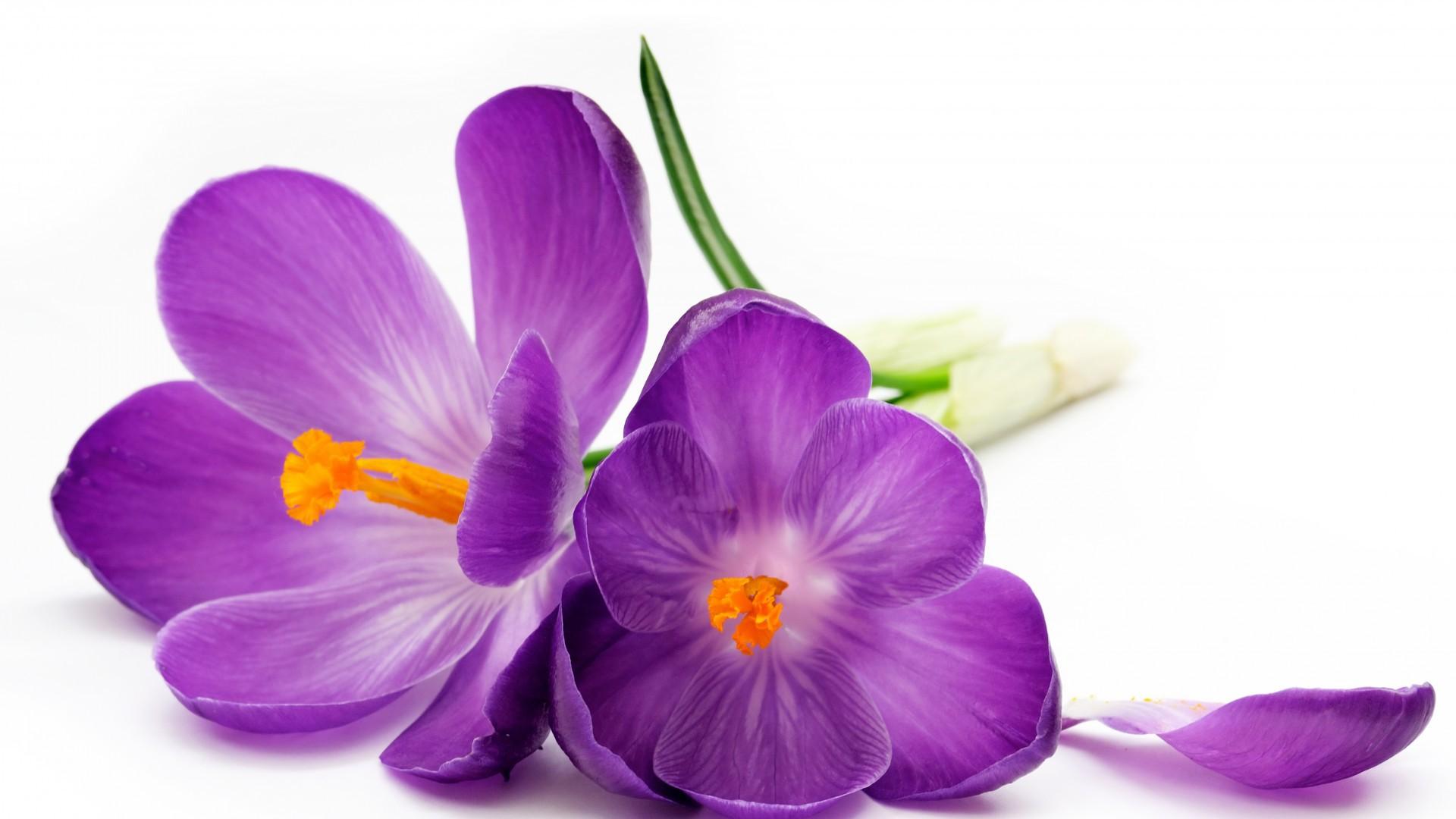 Фото цветок белый фон