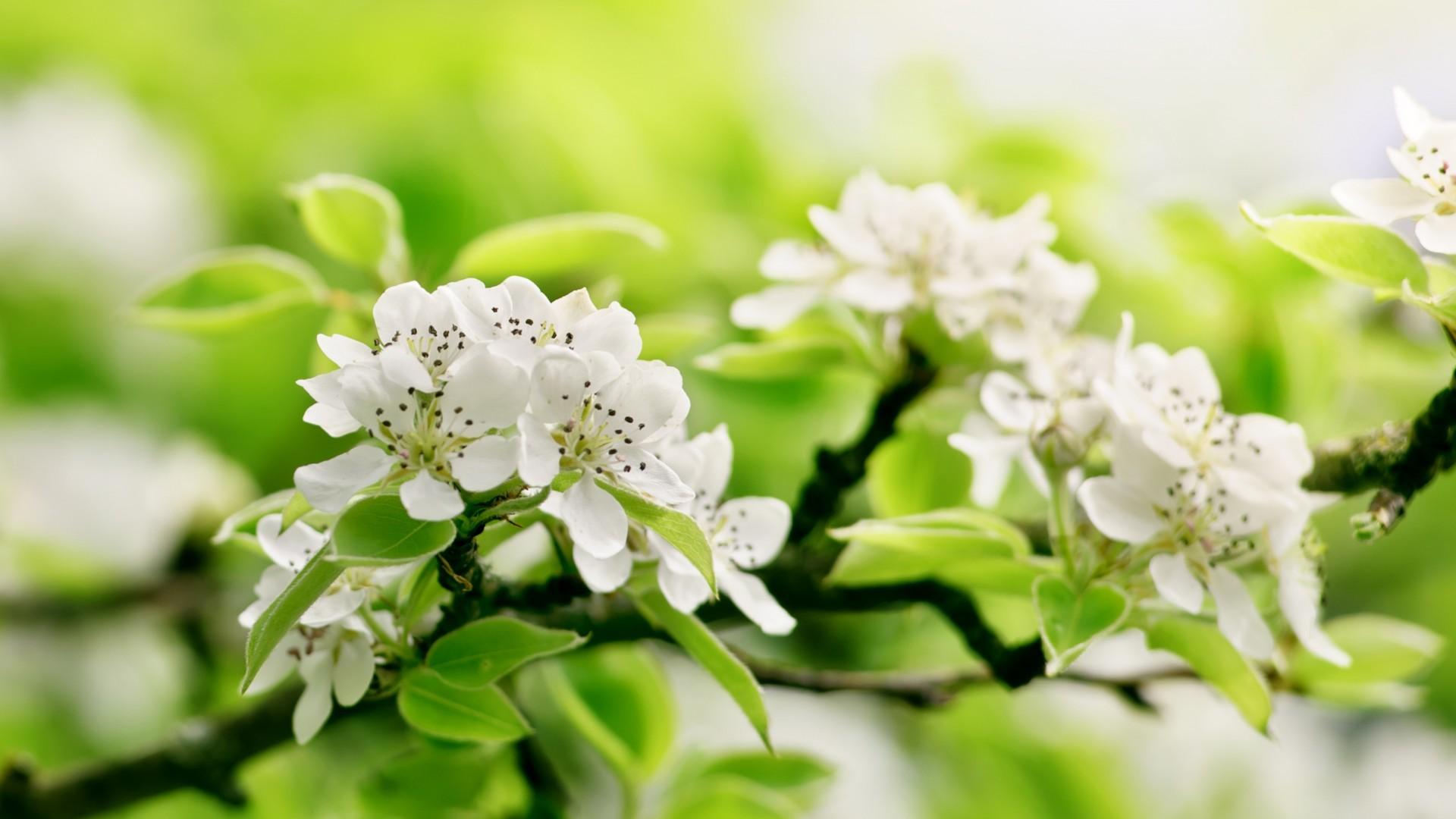 обои для рабочего стола цветущие яблони № 239668 бесплатно