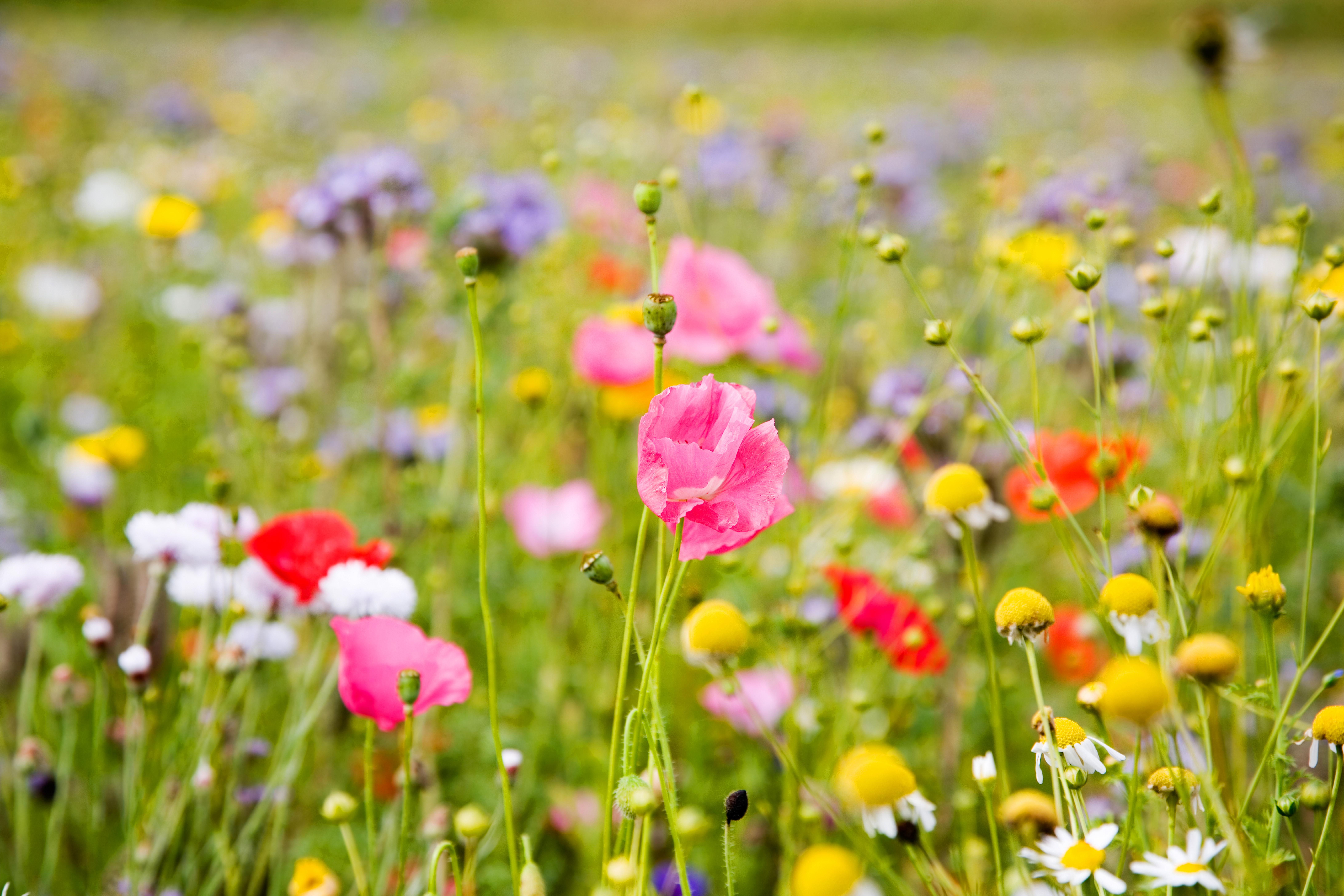 фото цветы полевые цветы