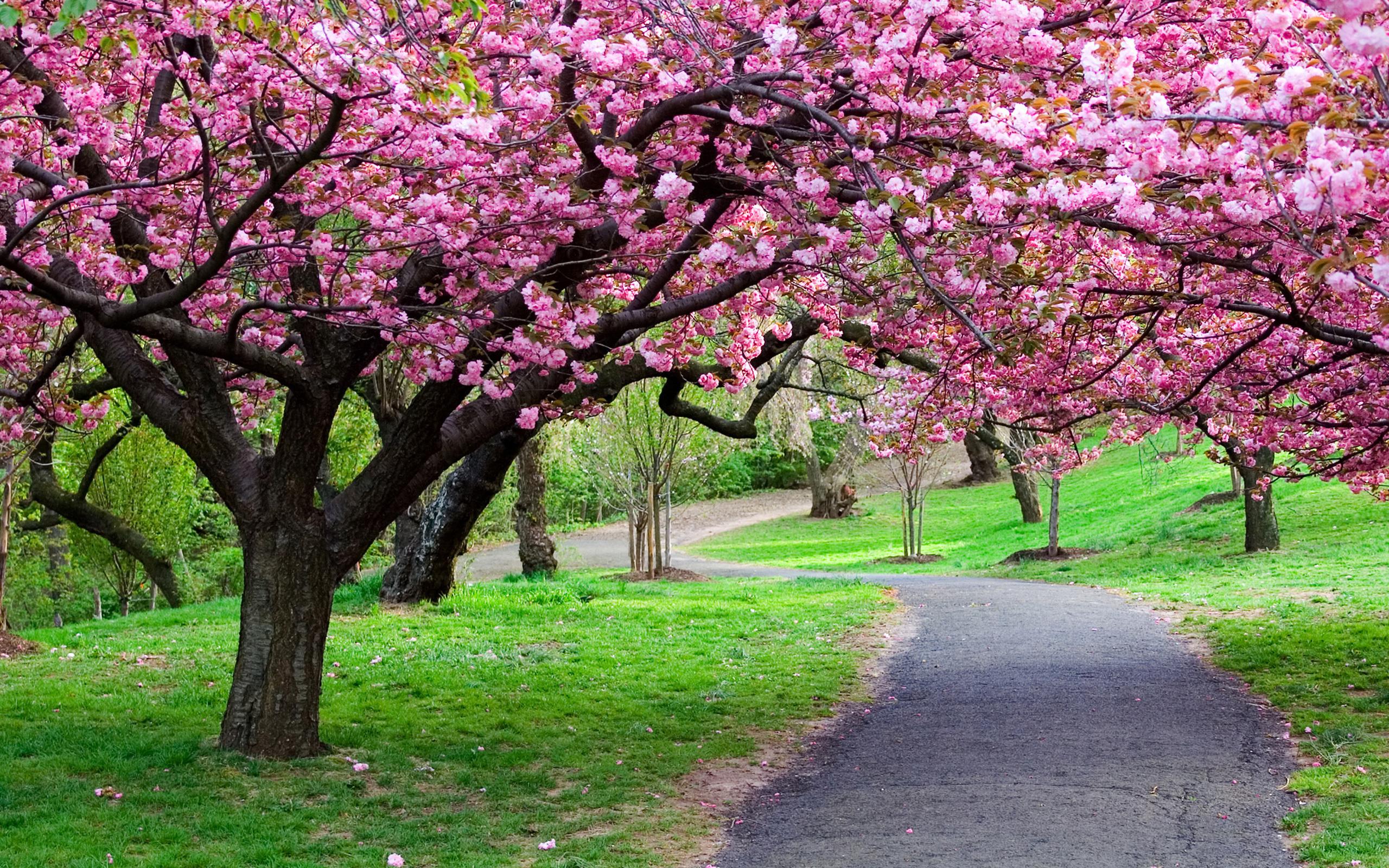Дерево цветущее розовыми цветами